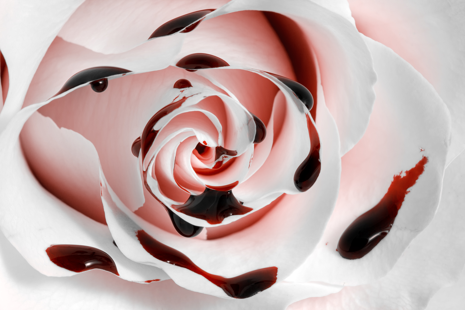 Blood Rose Macro - HDR, Pure, Picture, Purity, Red, HQ Photo