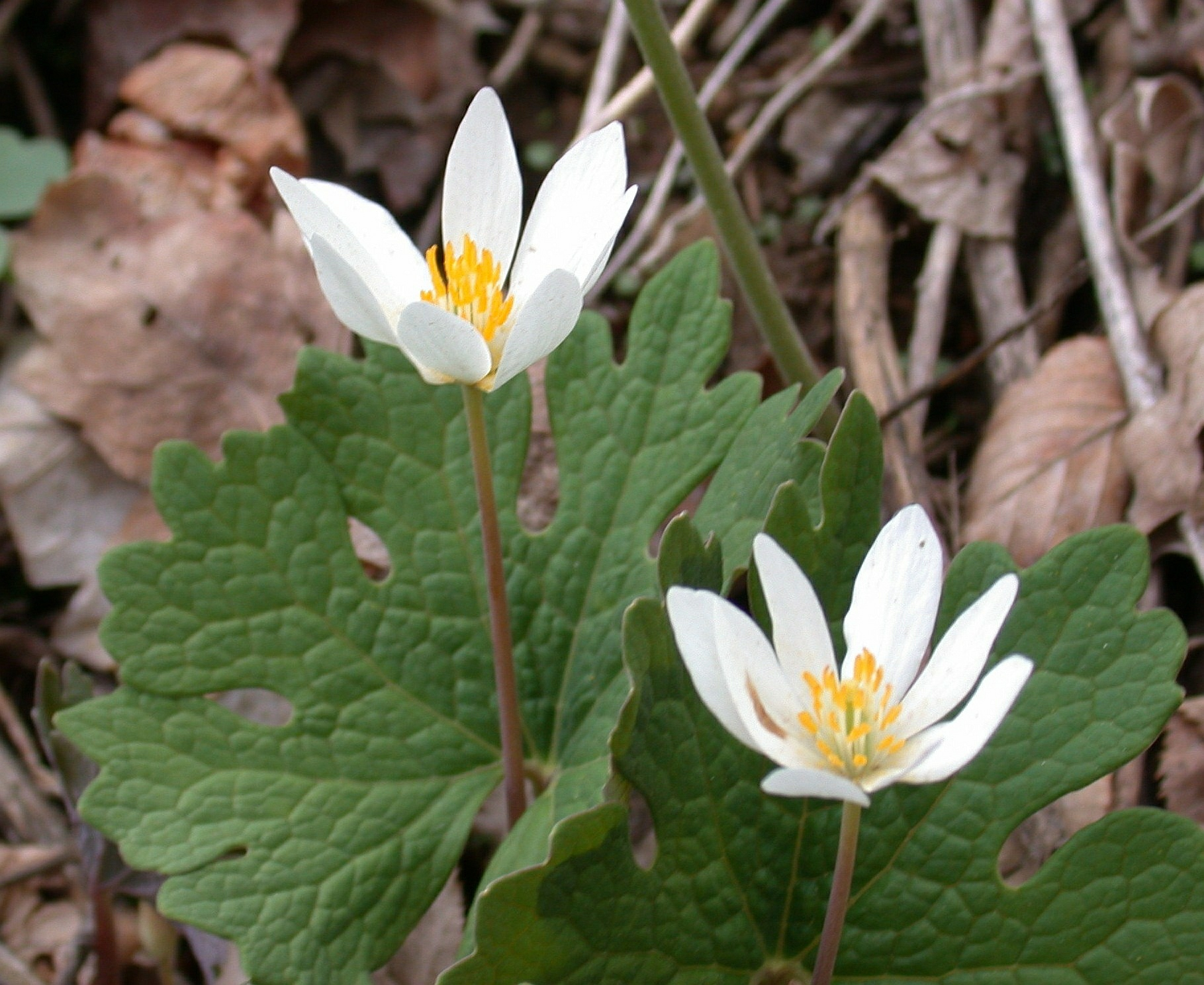 Bloodroot photo