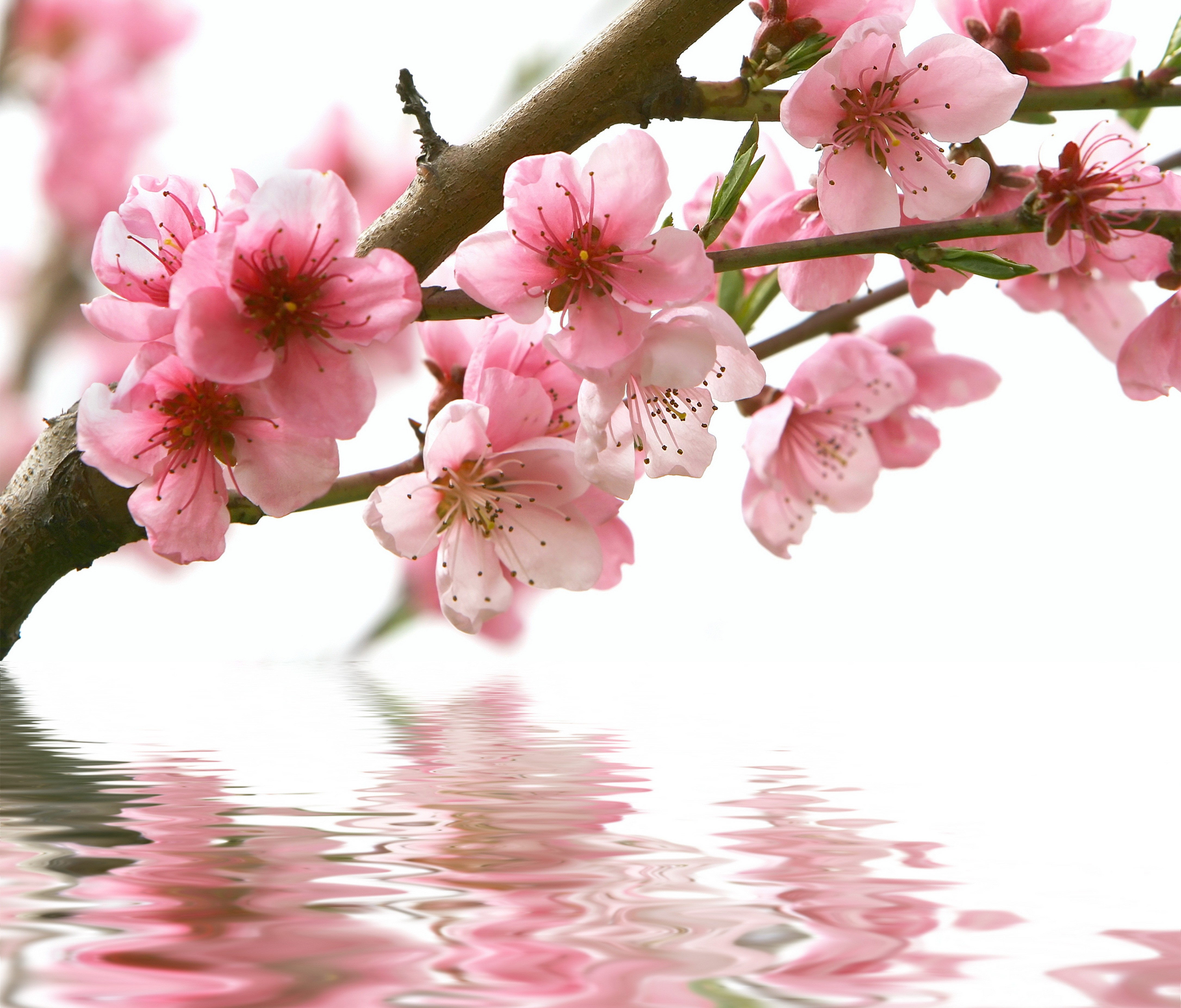 Flowers: Nature Reflection Branches Trees Blooming Flowers Flower ...