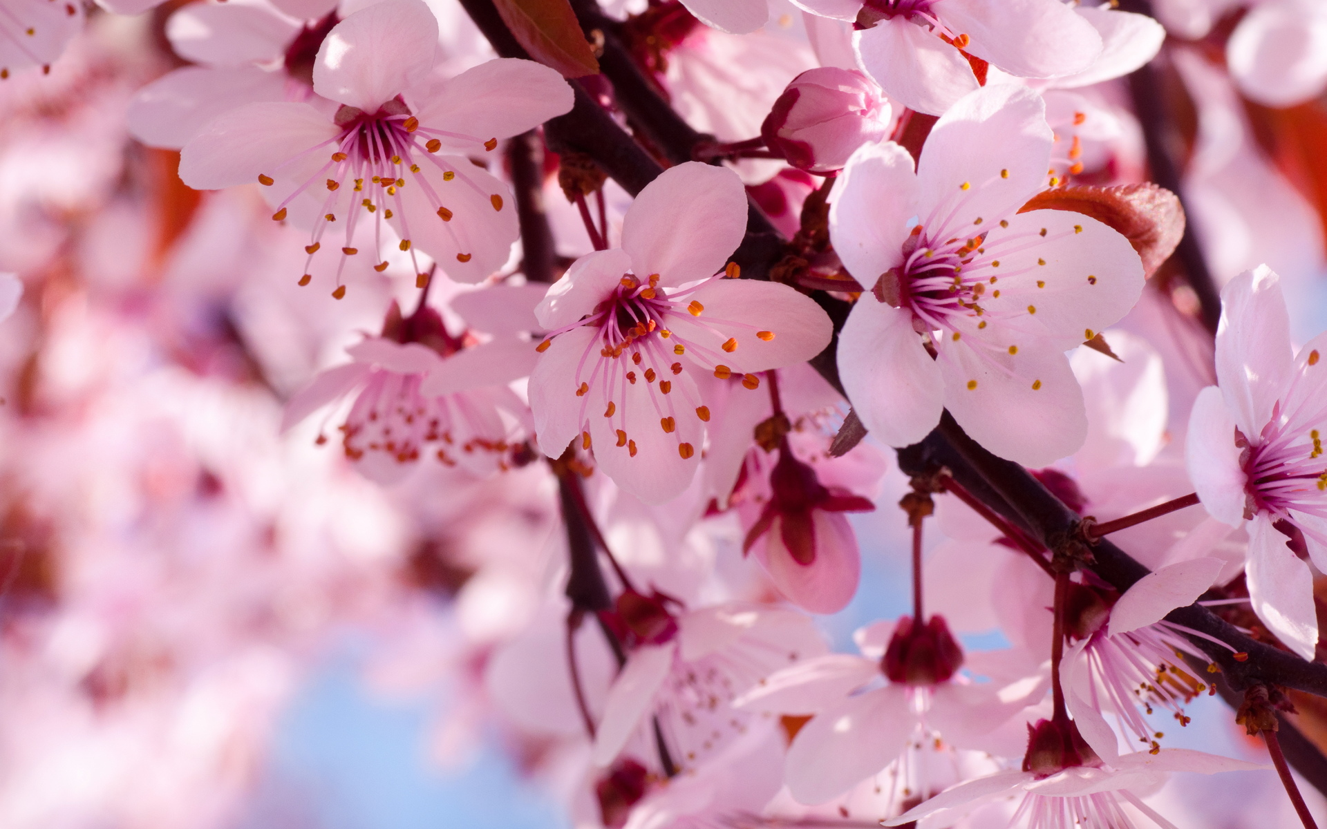Cherry Blossom Flower Branch HD Wallpaper, Background Images