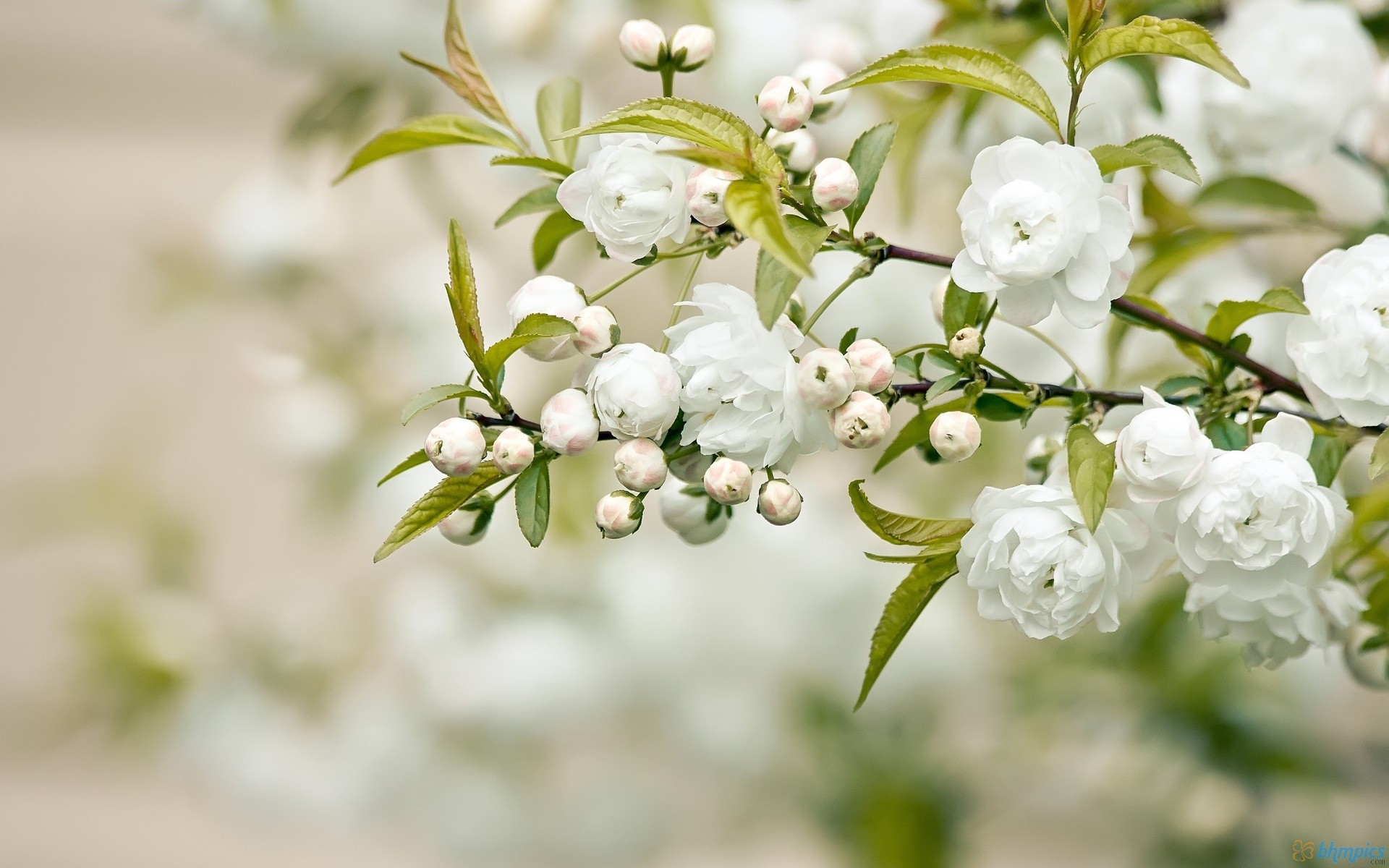 Flowers: Blooms Flowers White Blooming Trees Blossoms Amazing Flower ...