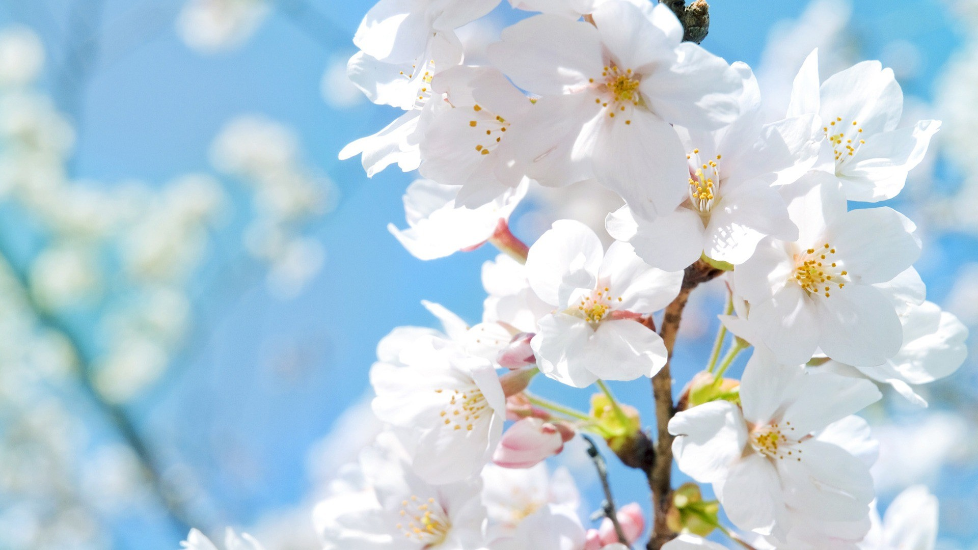Flowers: Photography Tree White Flower Wall Blooming Cherry Spring ...