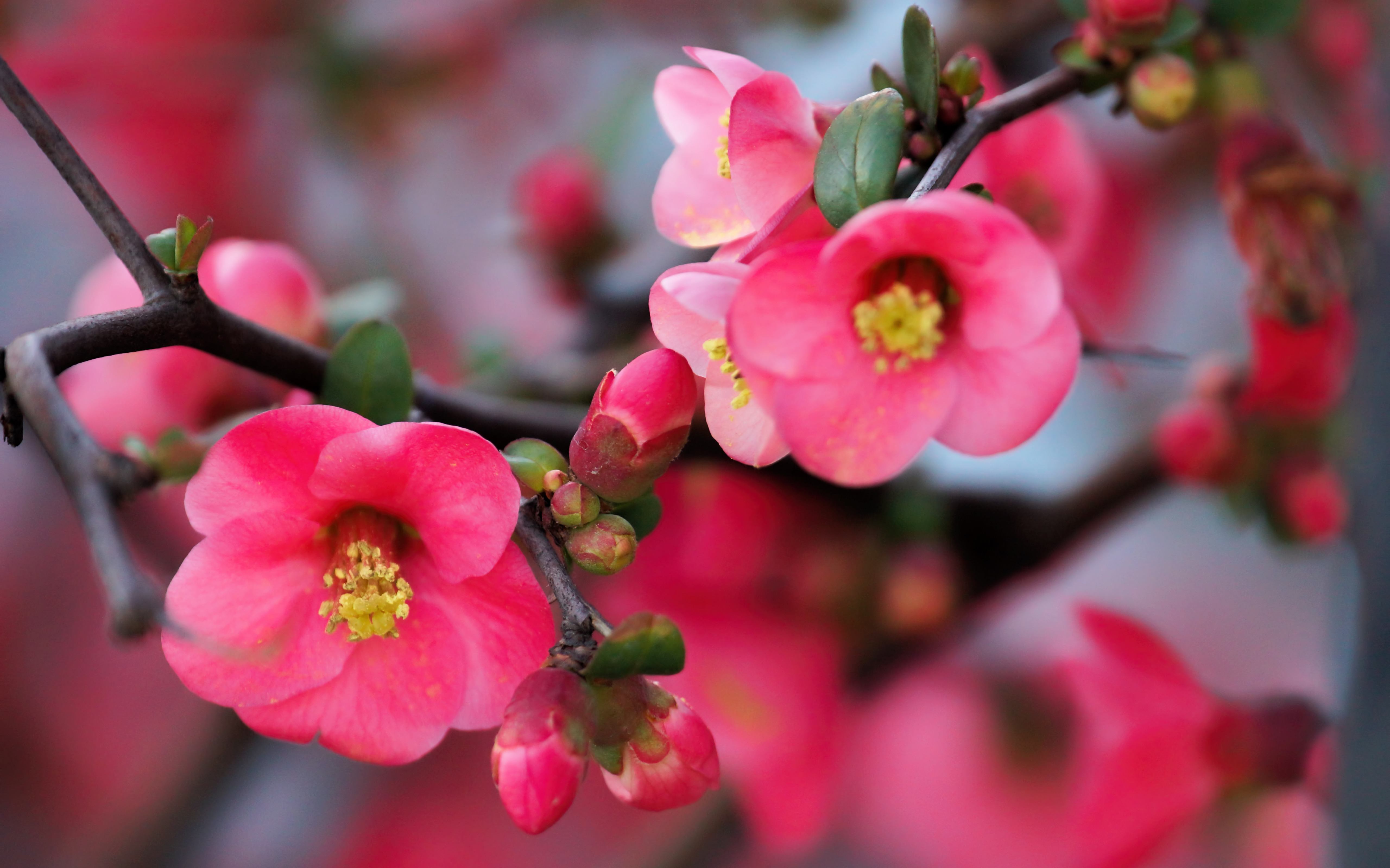 Pink Flowers and Buds, Tree Branch in Bloom widescreen wallpaper ...