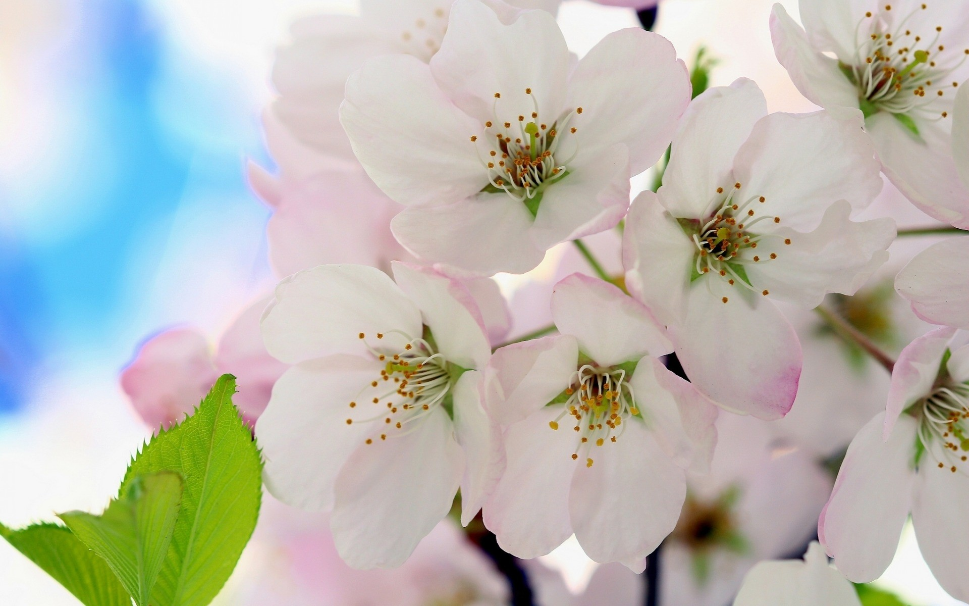 Flowers: Cherry Blooming Flowers Branch White Leaves Image for HD 16 ...
