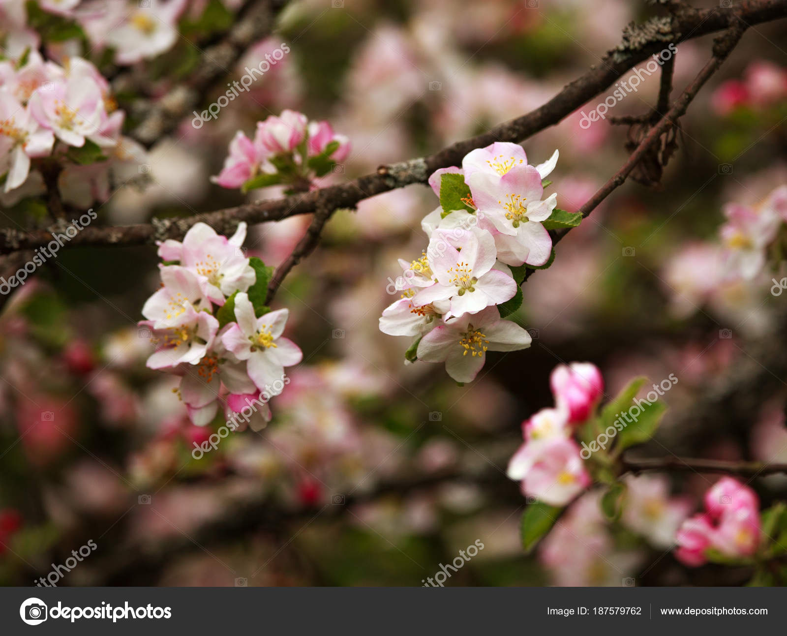 Branches of blooming flowers of fruit trees in spring garden — Stock ...