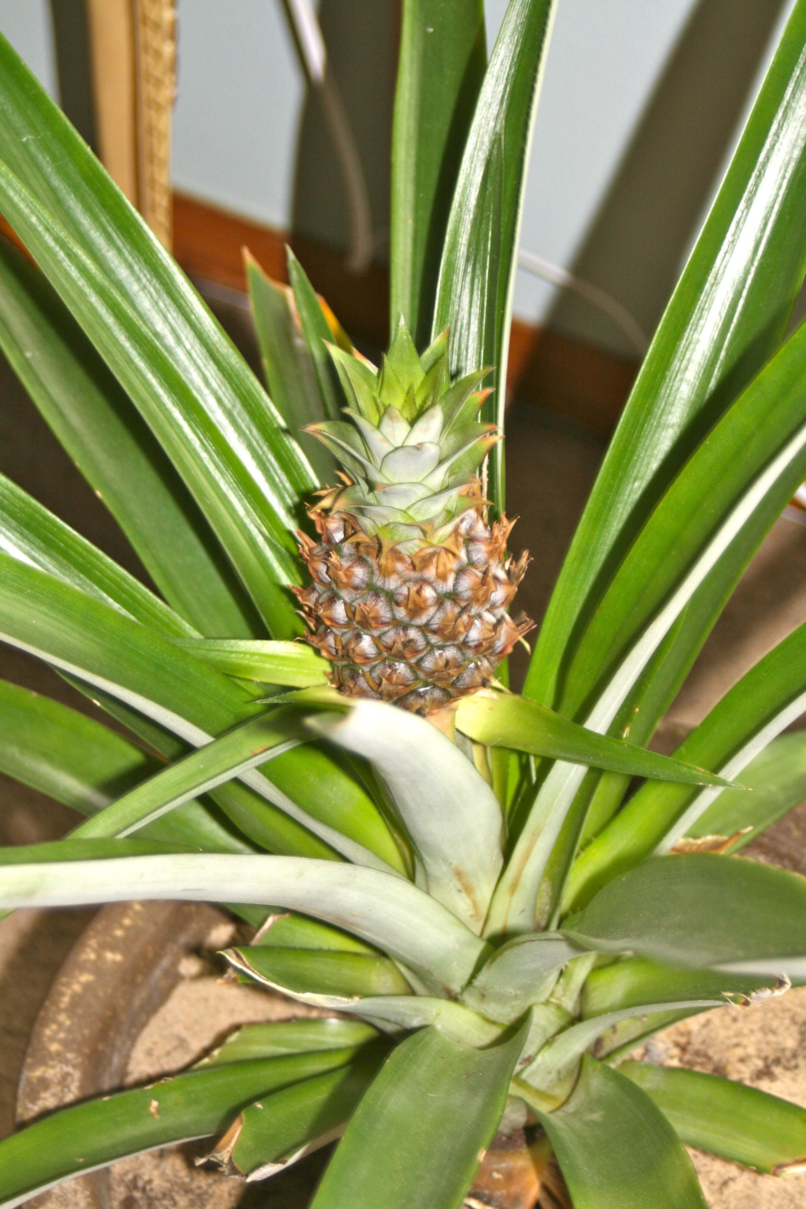 A more mature indoor pineapple plant that was purchased.. which has ...