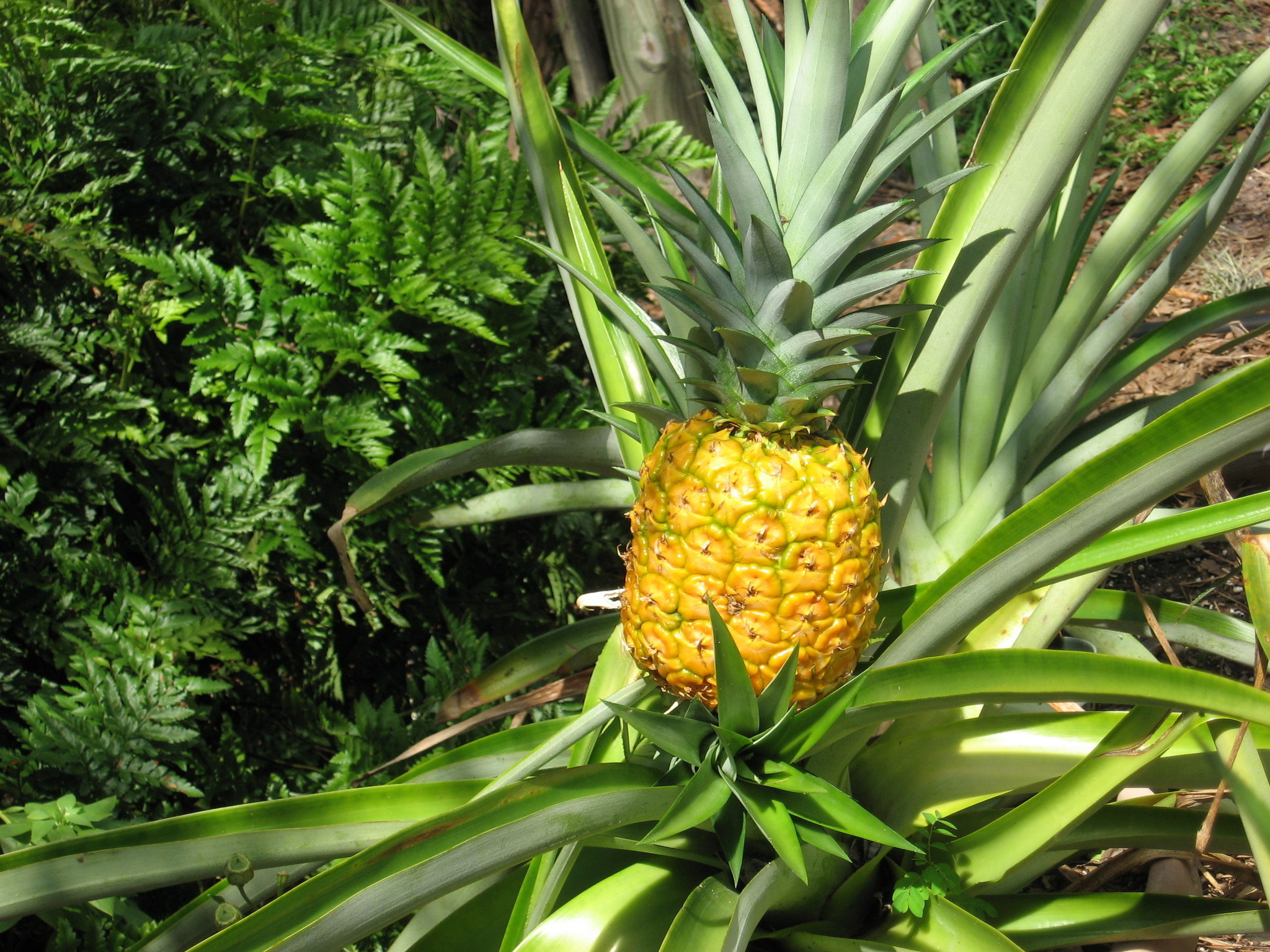 Pineapple time in the garden - Orlando Sentinel