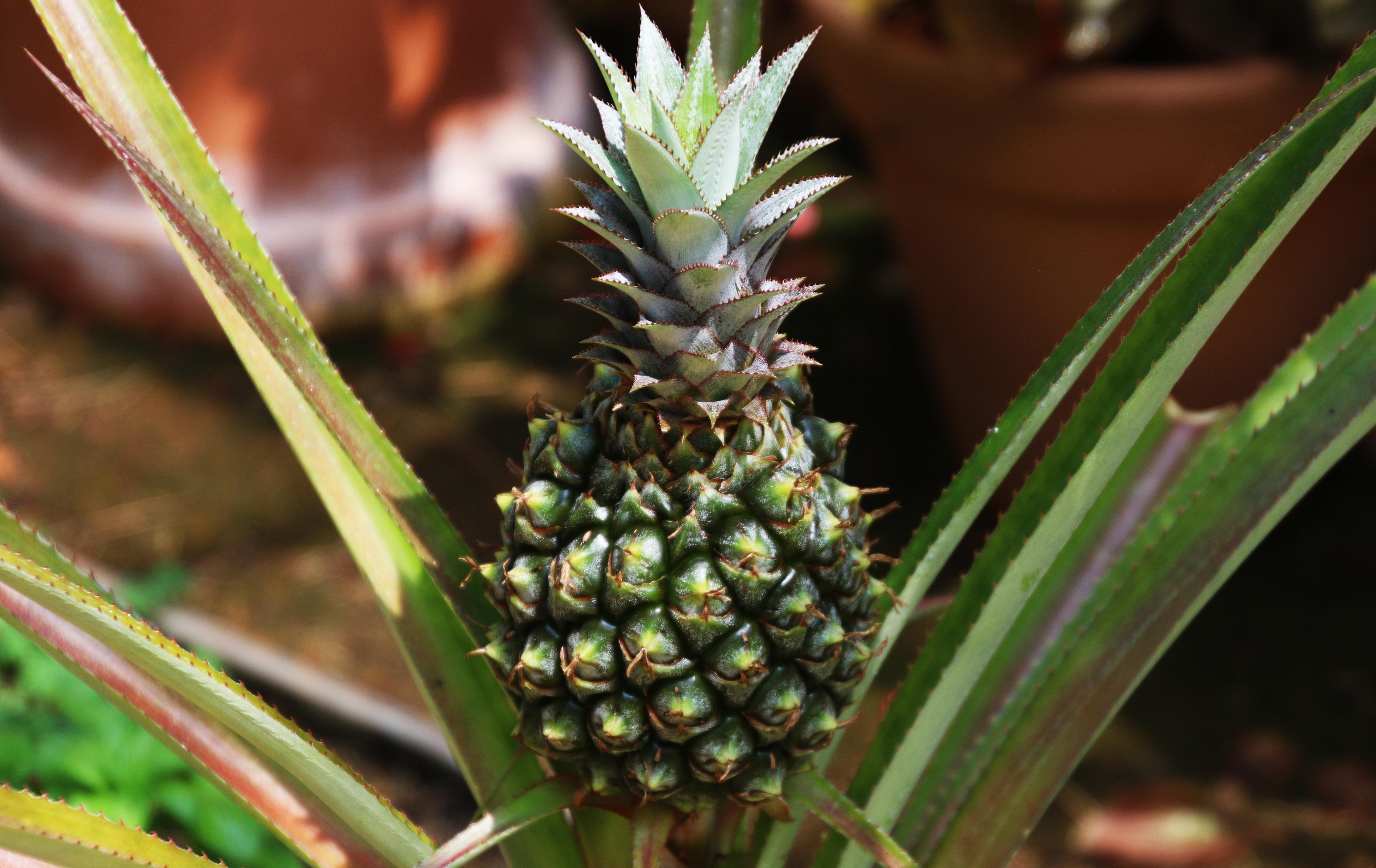 Blooming pineapple in the garden, Blooming pineapple in the garden