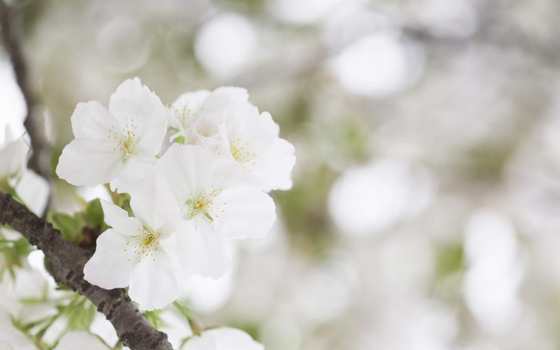Free Photo Blooming White Flowers White Nature Fresh Free
