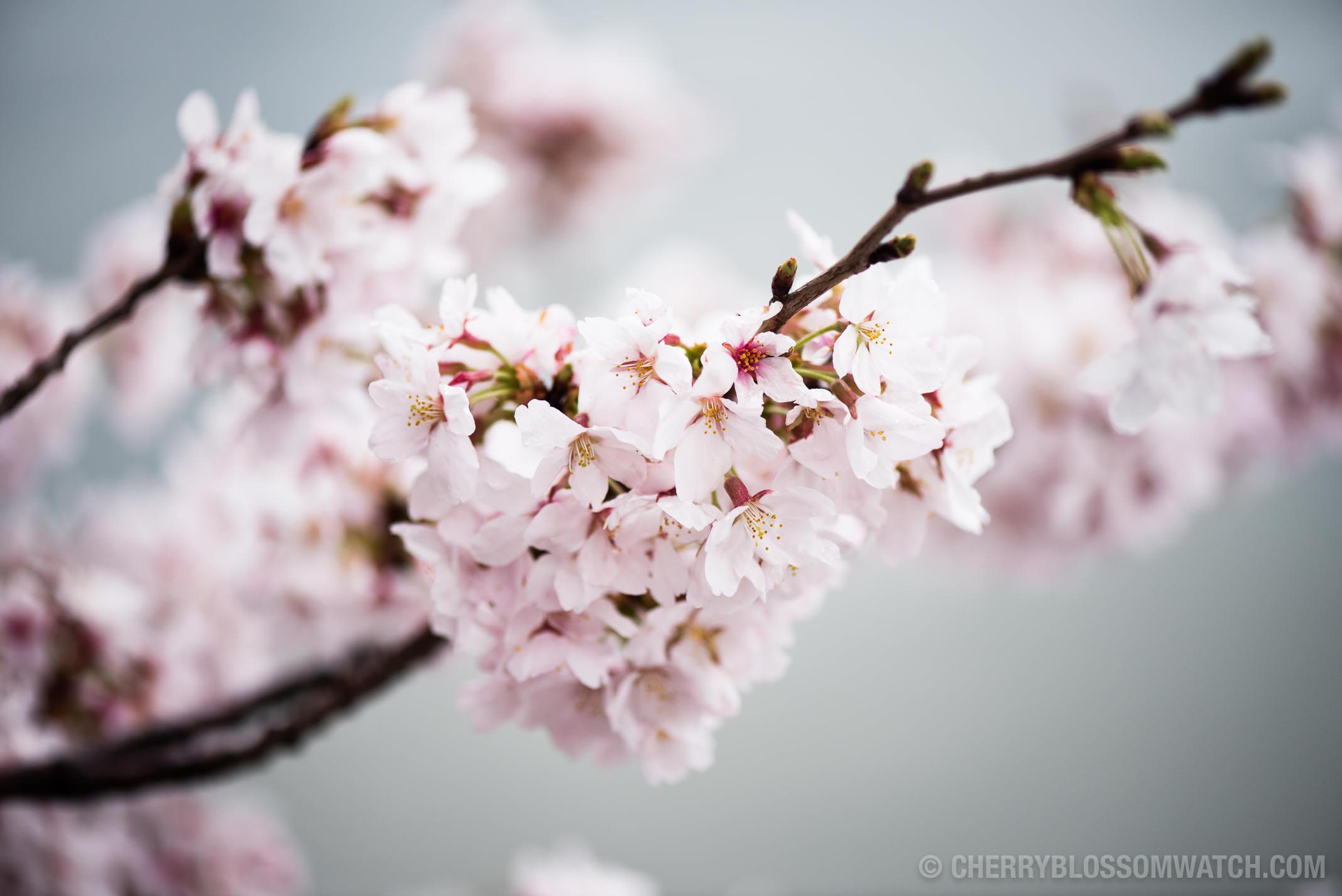 Www cherry blossom com online dating