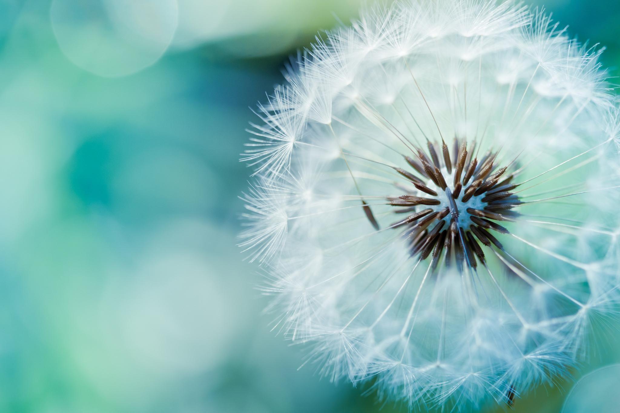 free photo blowball macro flower dandelion free download jooinn