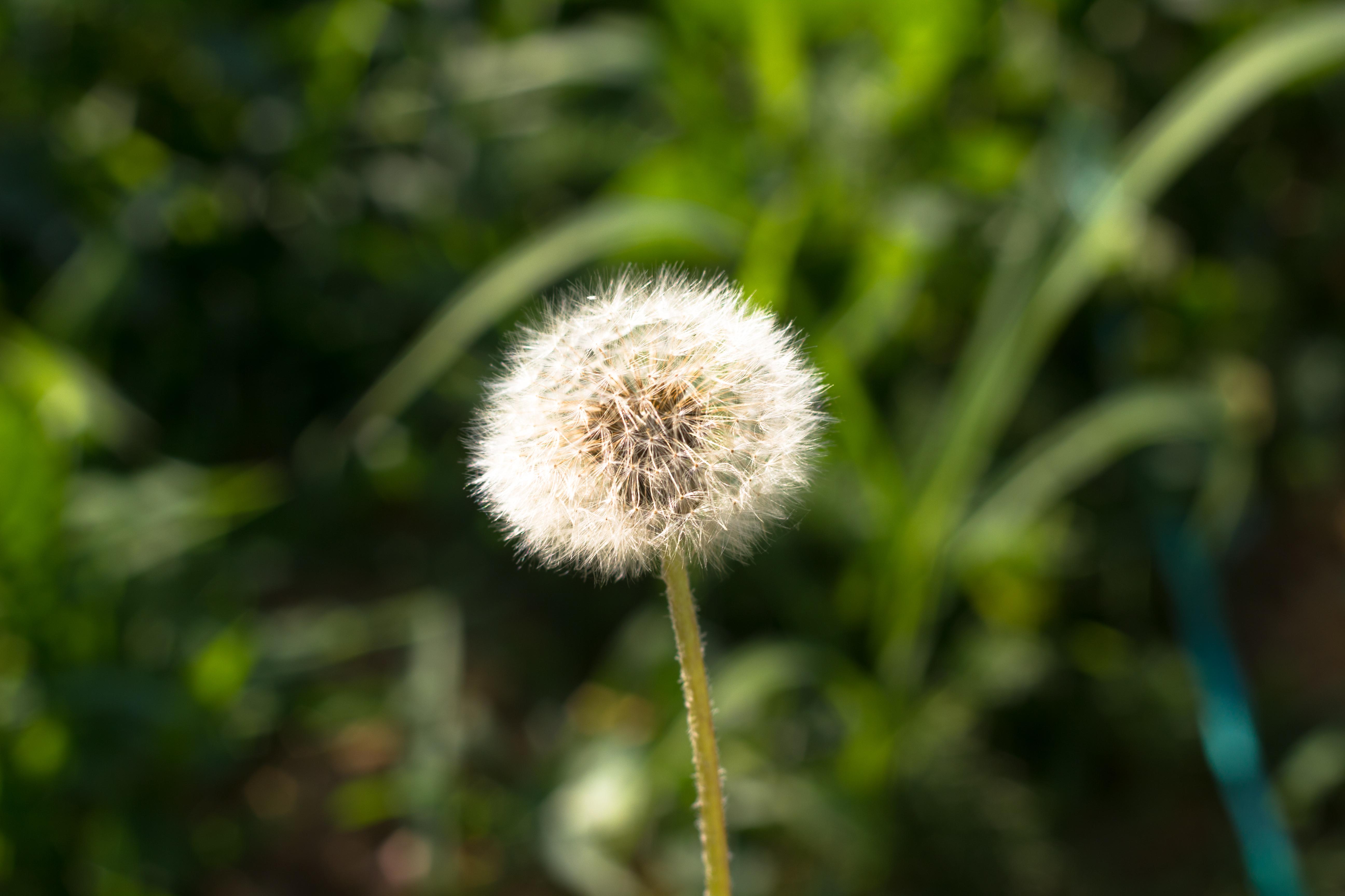 free photo blowball flower dandelion free download jooinn