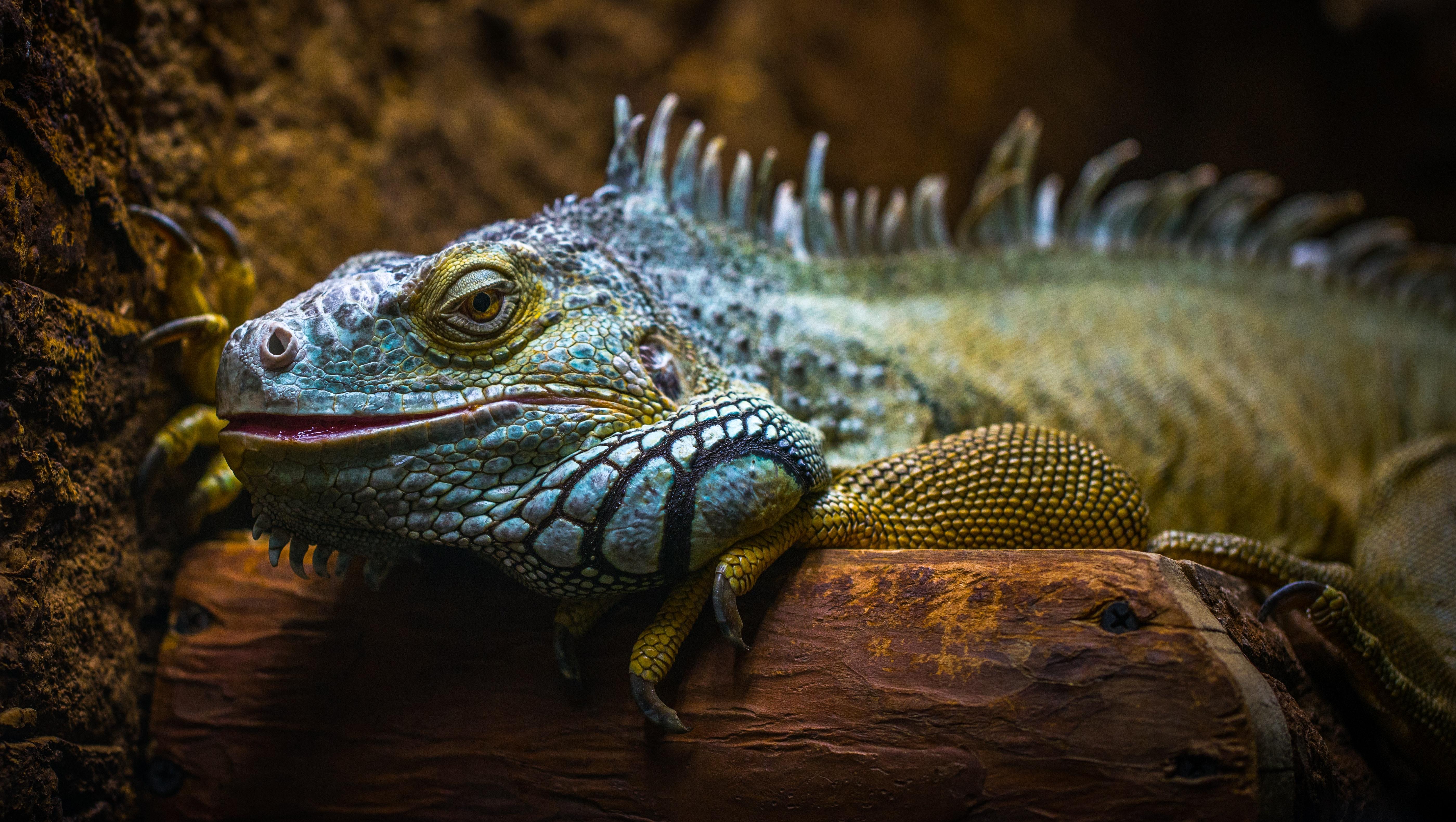 Blue and Brown Iguana, Animal, Mouth, Wild, Vertebrate, HQ Photo