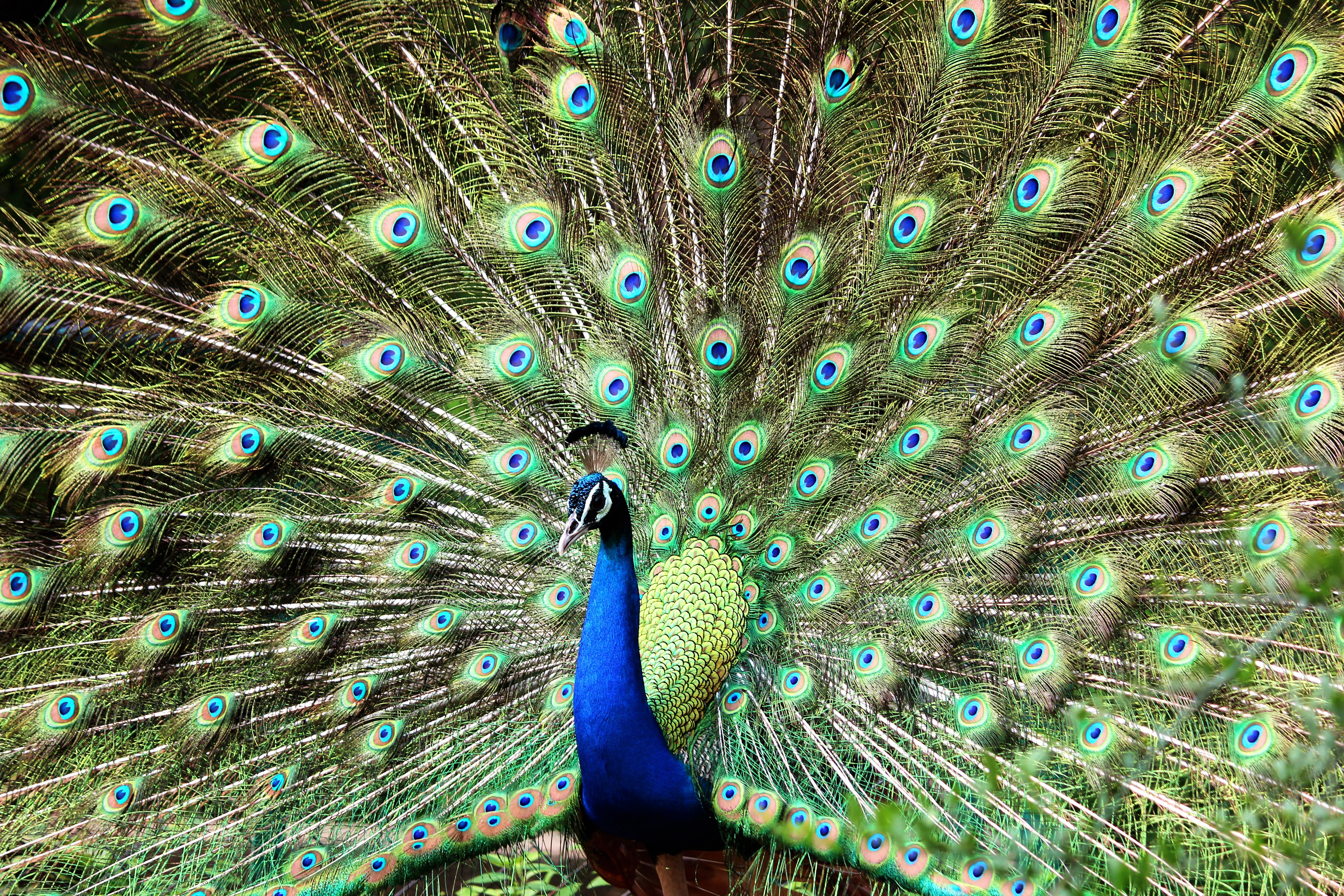 Blue and green peacock photo