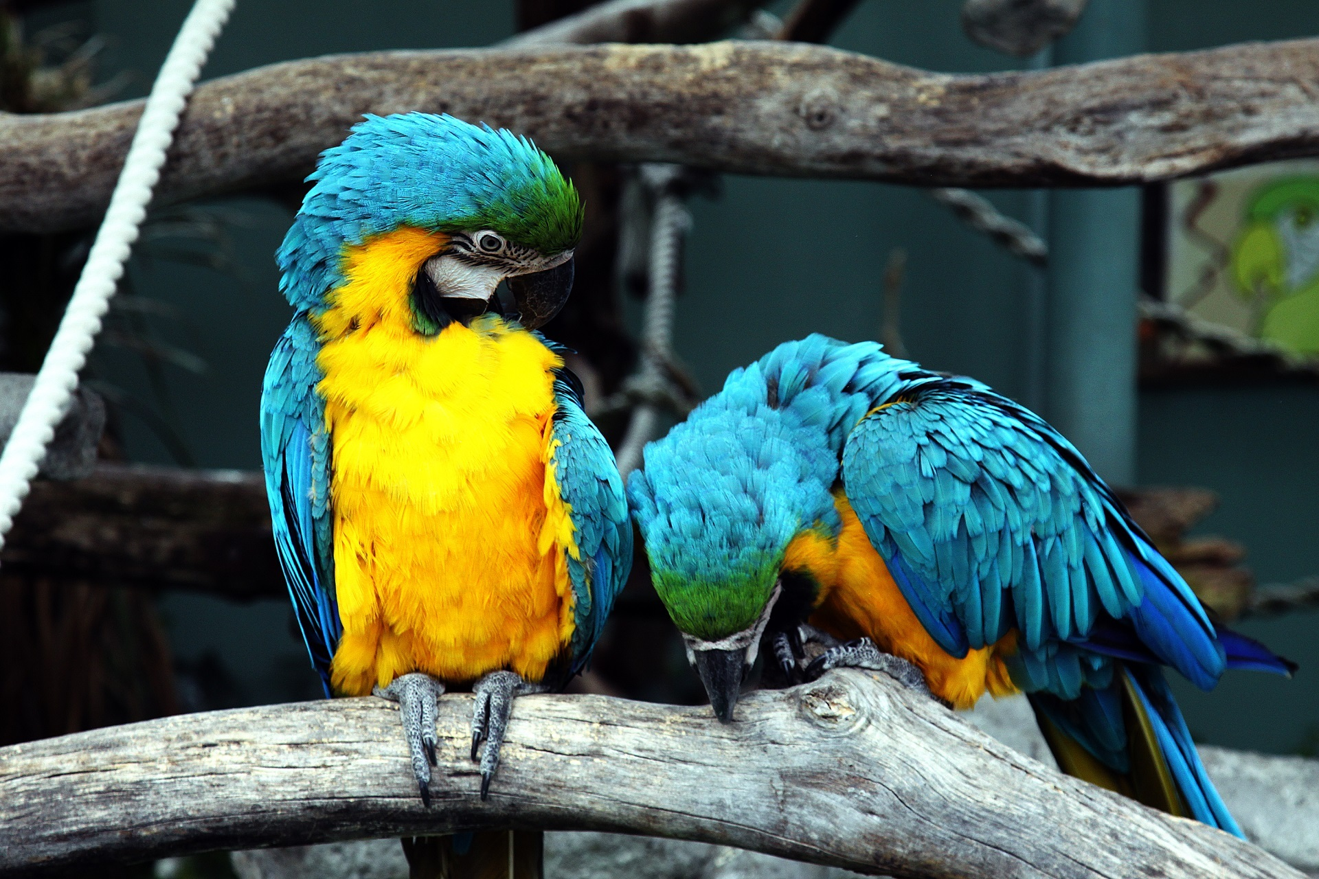 Blue and yellow macaws photo