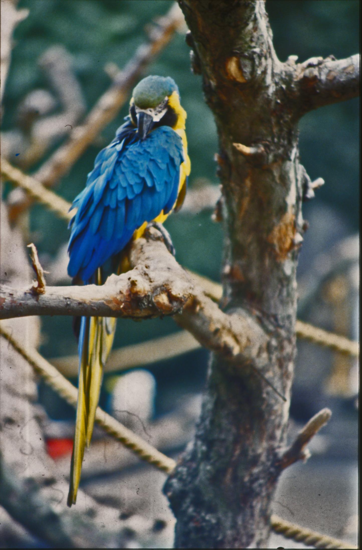 Blue and yellow parakeet photo