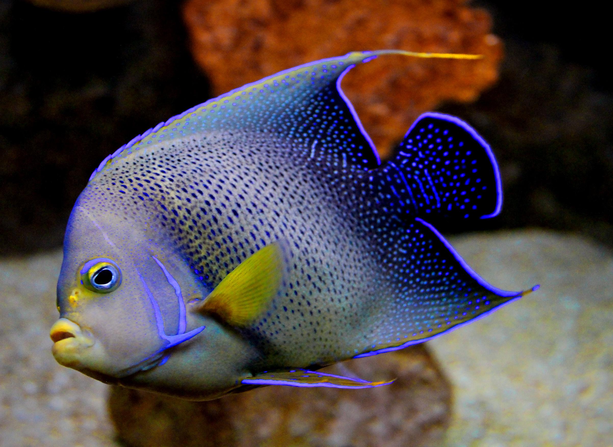 Blue angelfish - pomacanthus semicirculatus photo