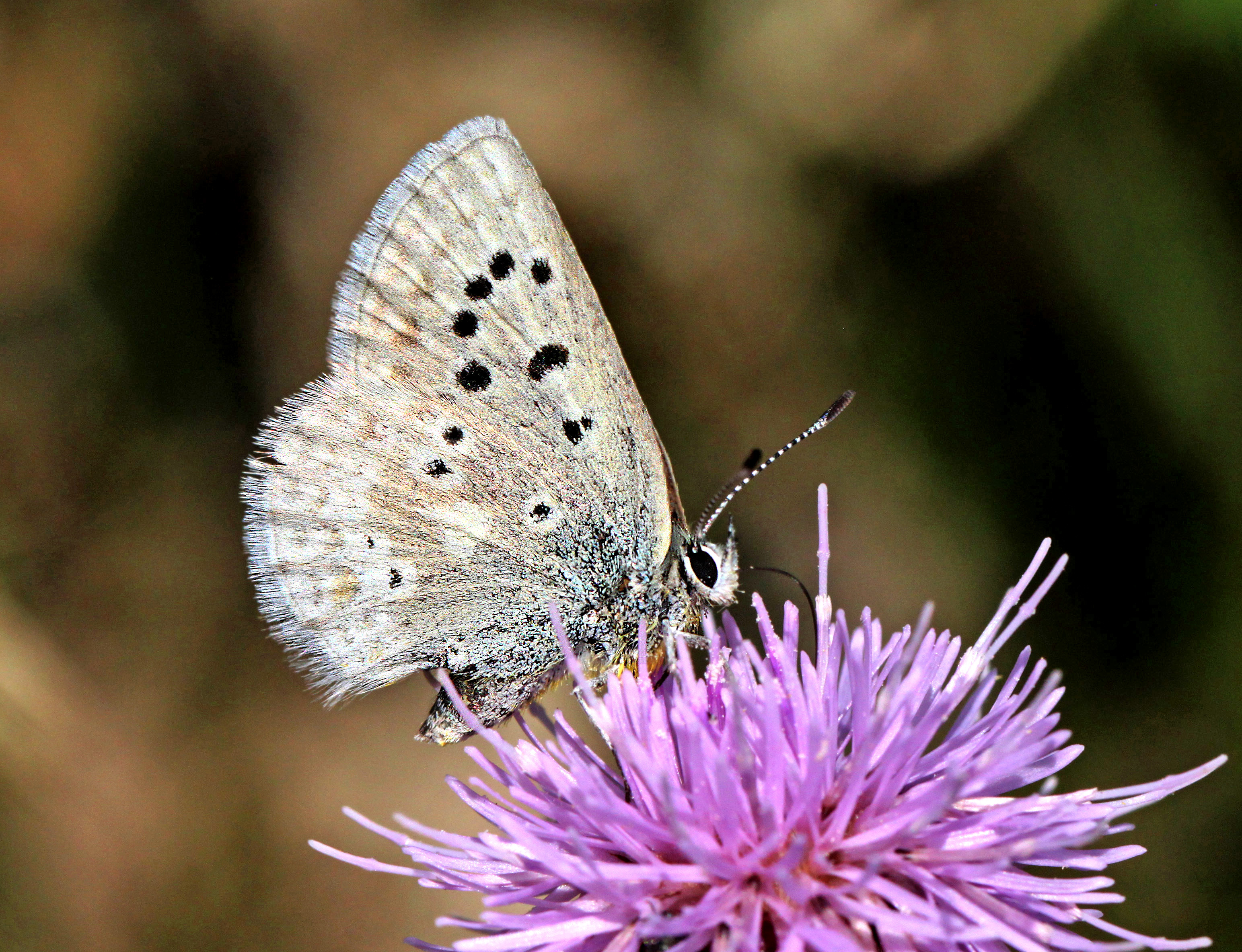 Blue, arctic (plebejus glandon) (8-21-12) near bristol head, west of creede, mineral co, co (2) photo