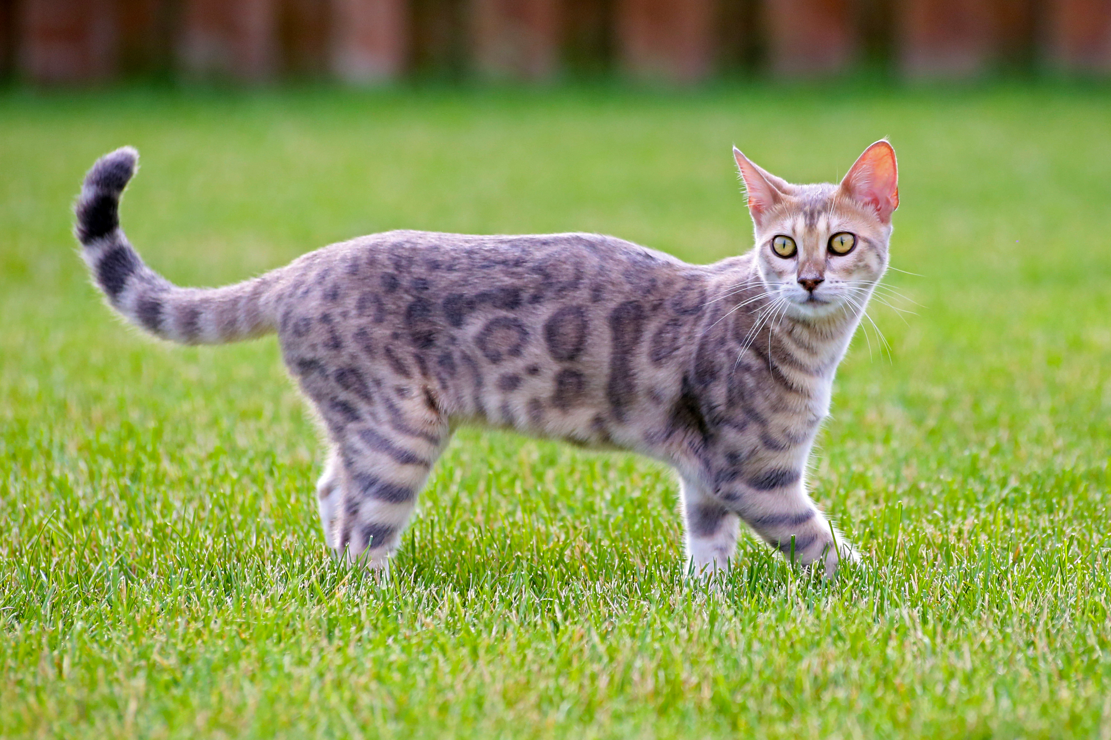 Blue bengal kitten: taste of freedom - 2, Lawn, Kitten, Grass, Leopard, HQ Photo