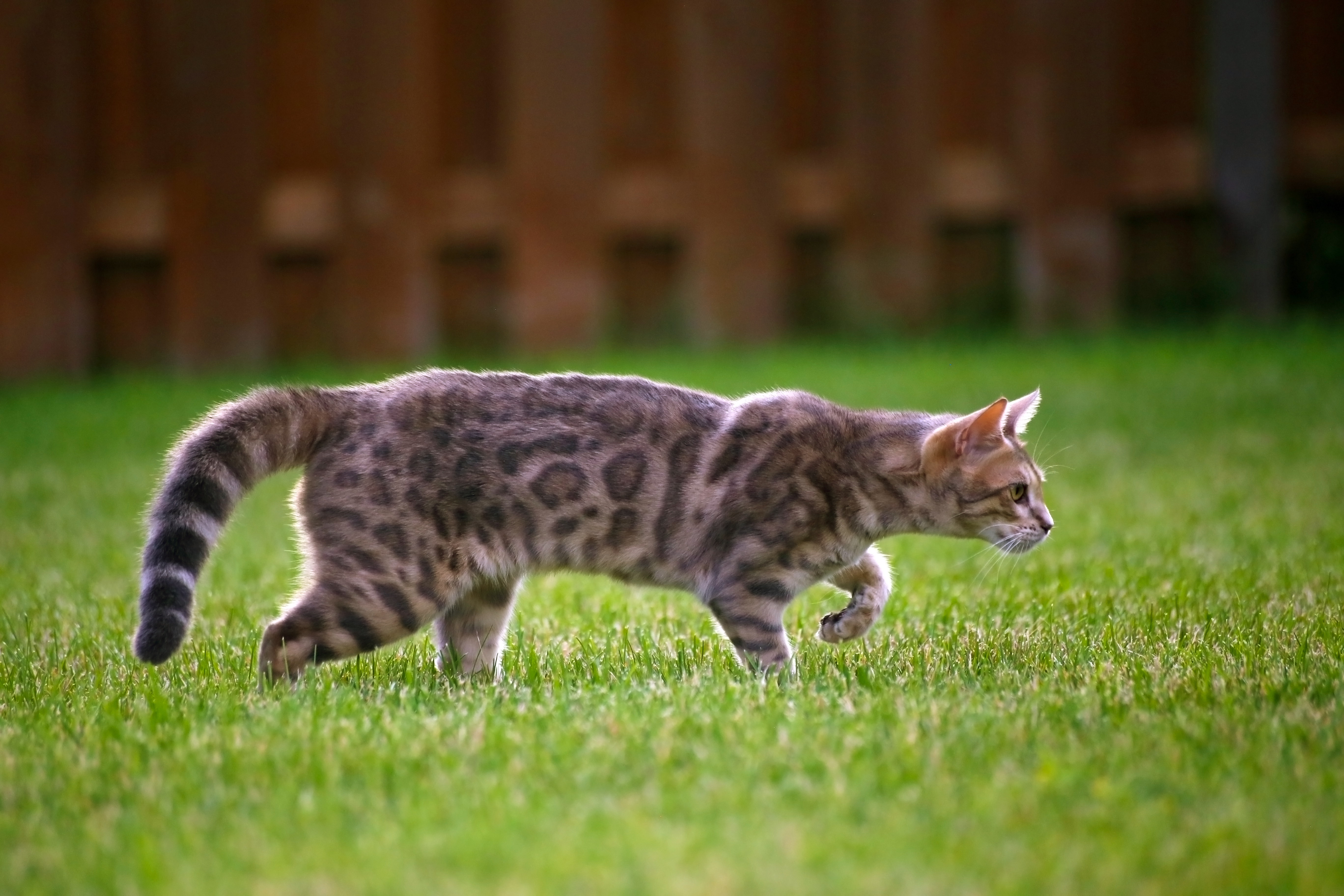 Blue bengal kitten: taste of freedom - 3 photo