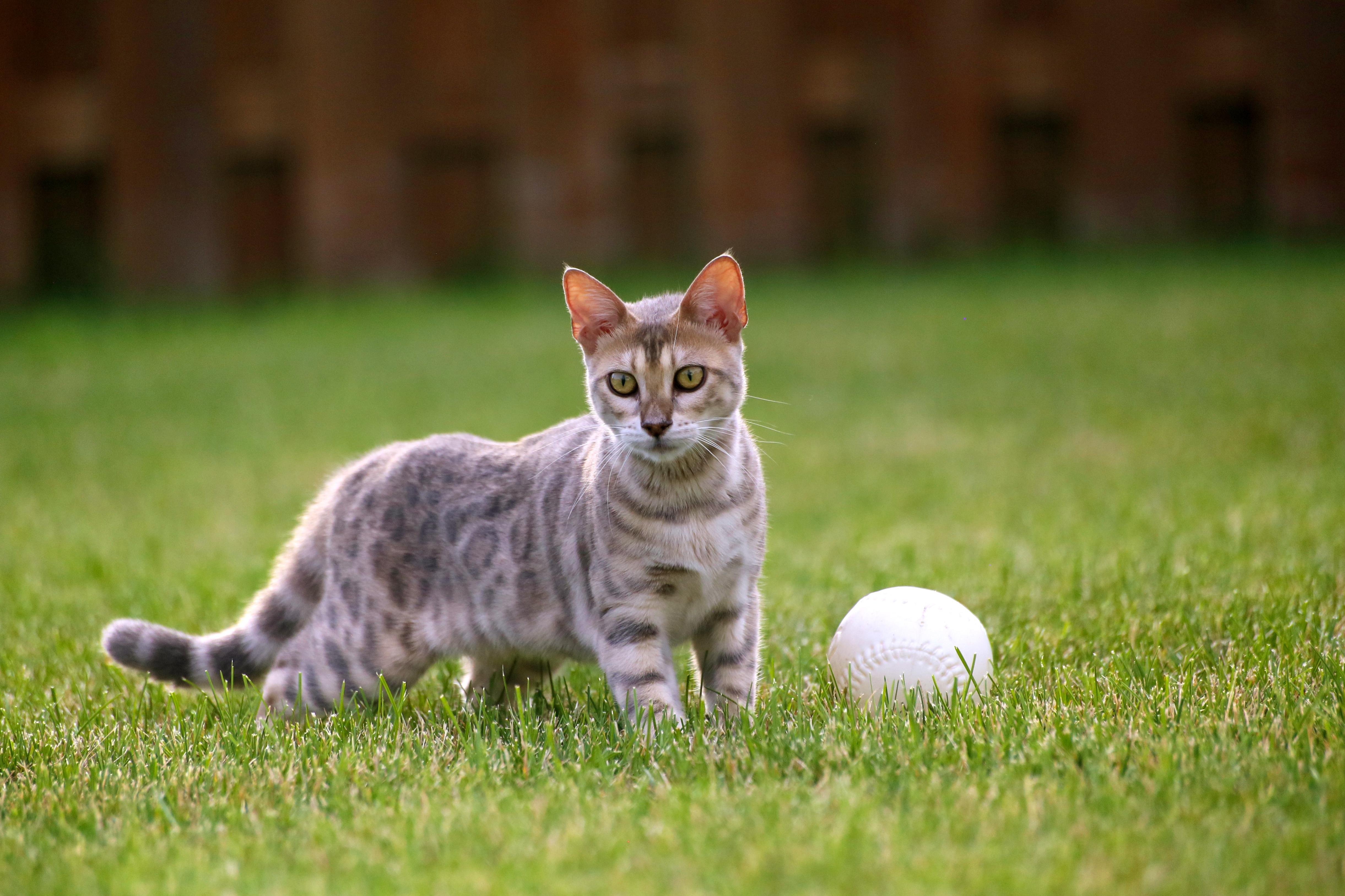 Blue bengal kitten: taste of freedom - 4, Animal, Game, Play, Pet, HQ Photo