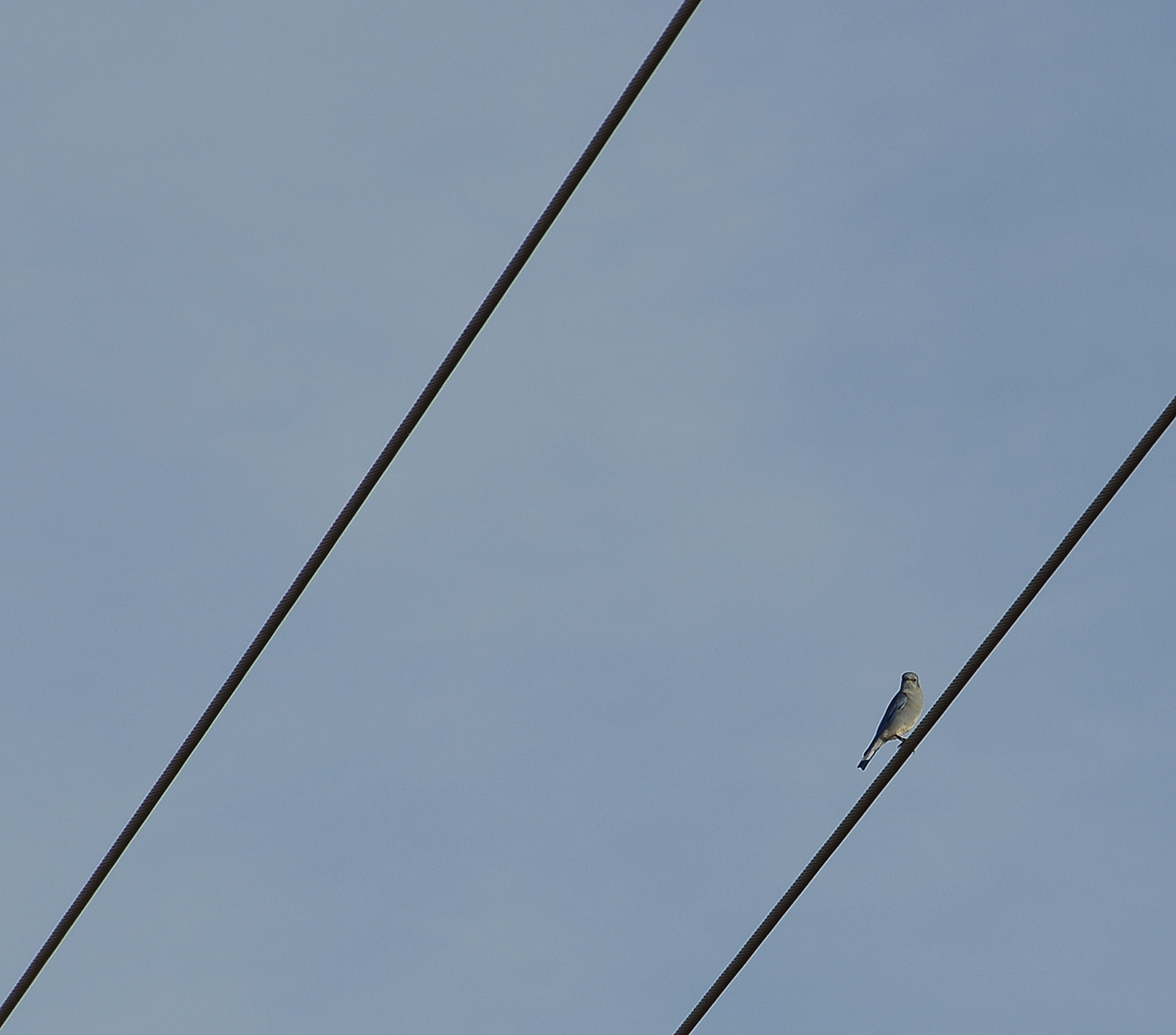Blue bird on a wire photo