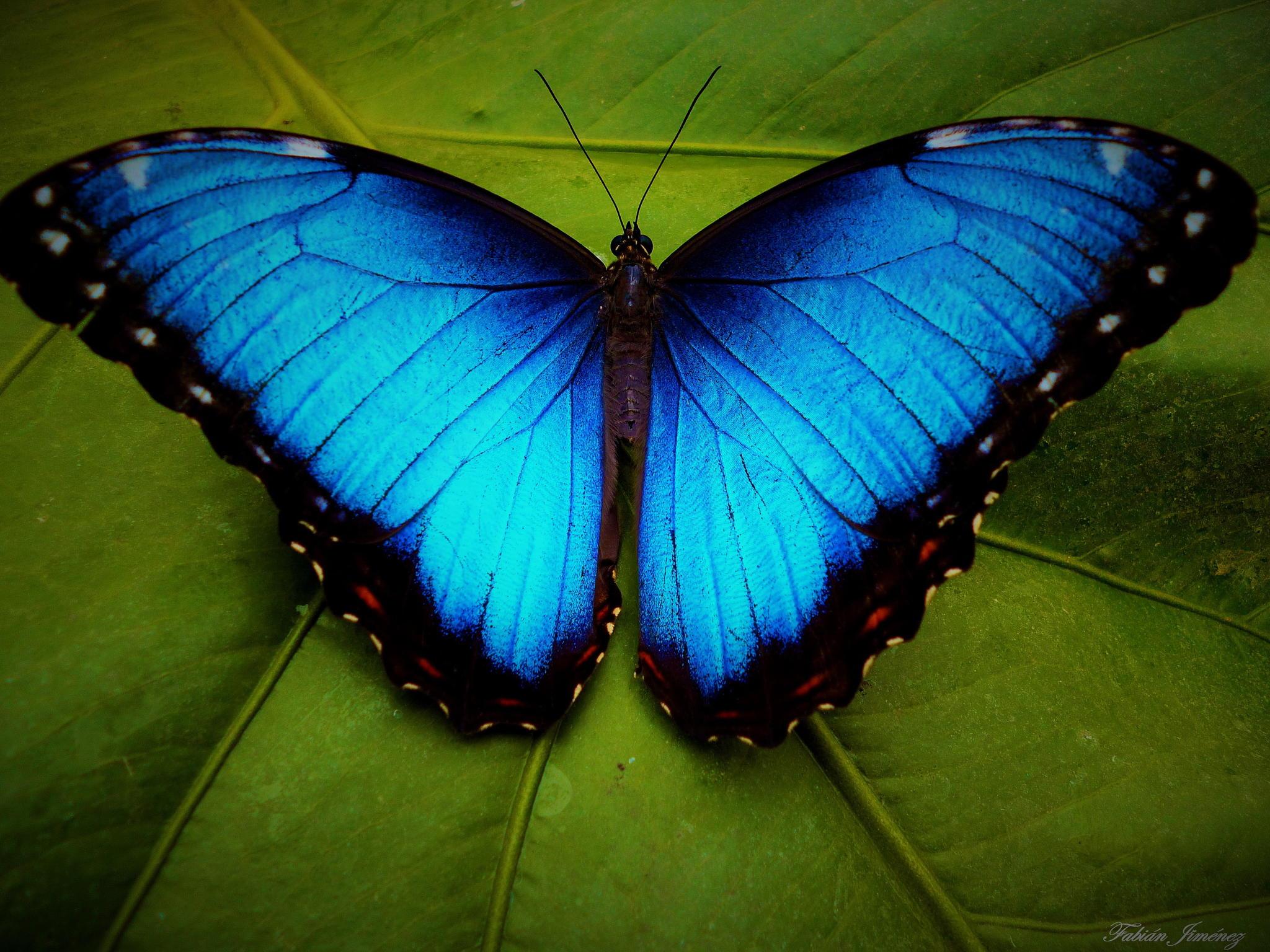 Blue butterflies photo