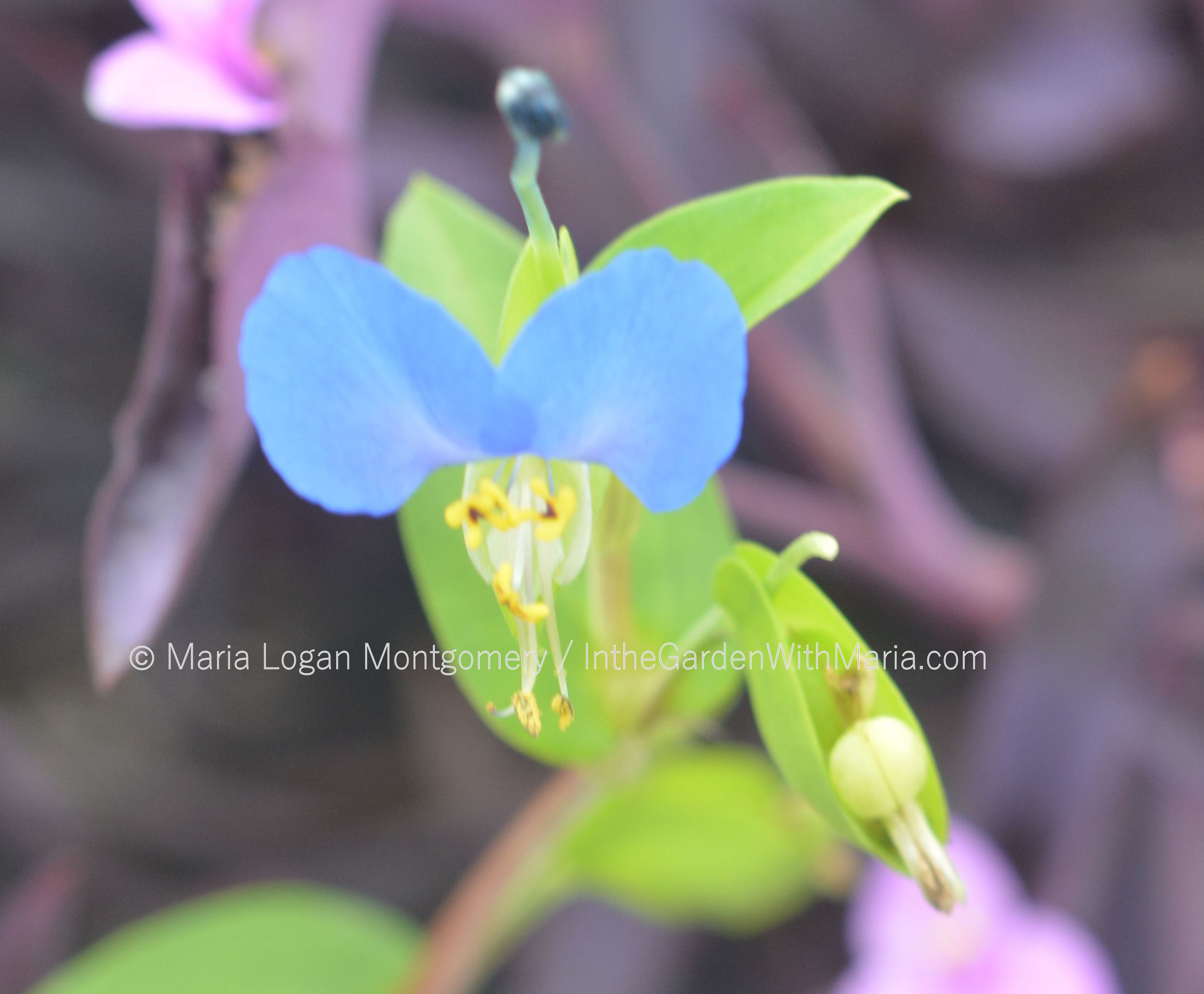 Free Photo Tiny Blue Flowers Nature Macro Green Free Download