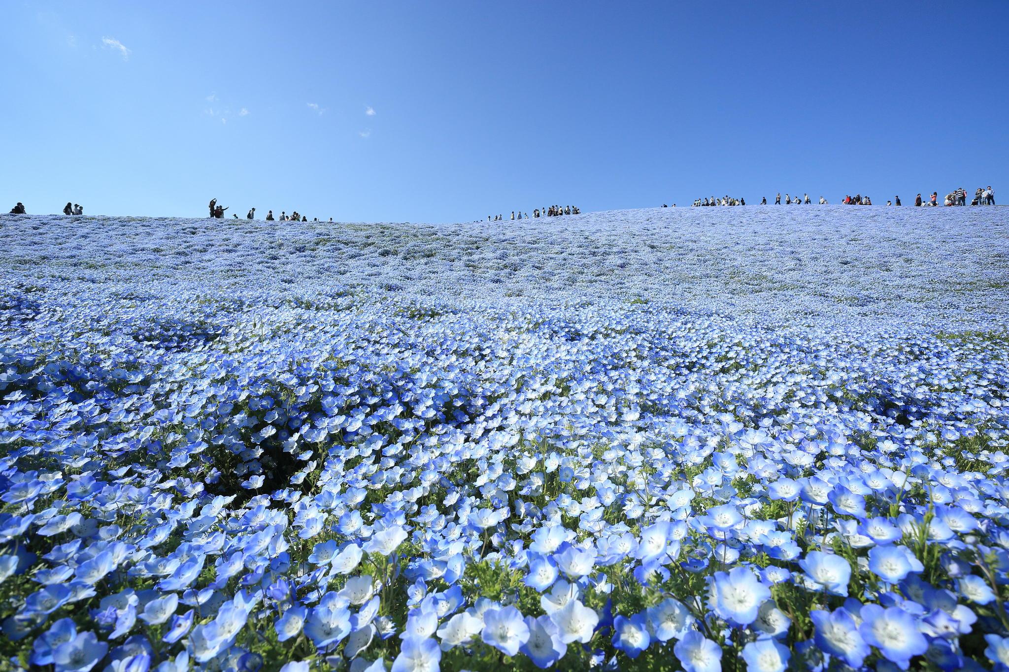 Free Photo Blue Flower Sky Tall Plant Free Download Jooinn