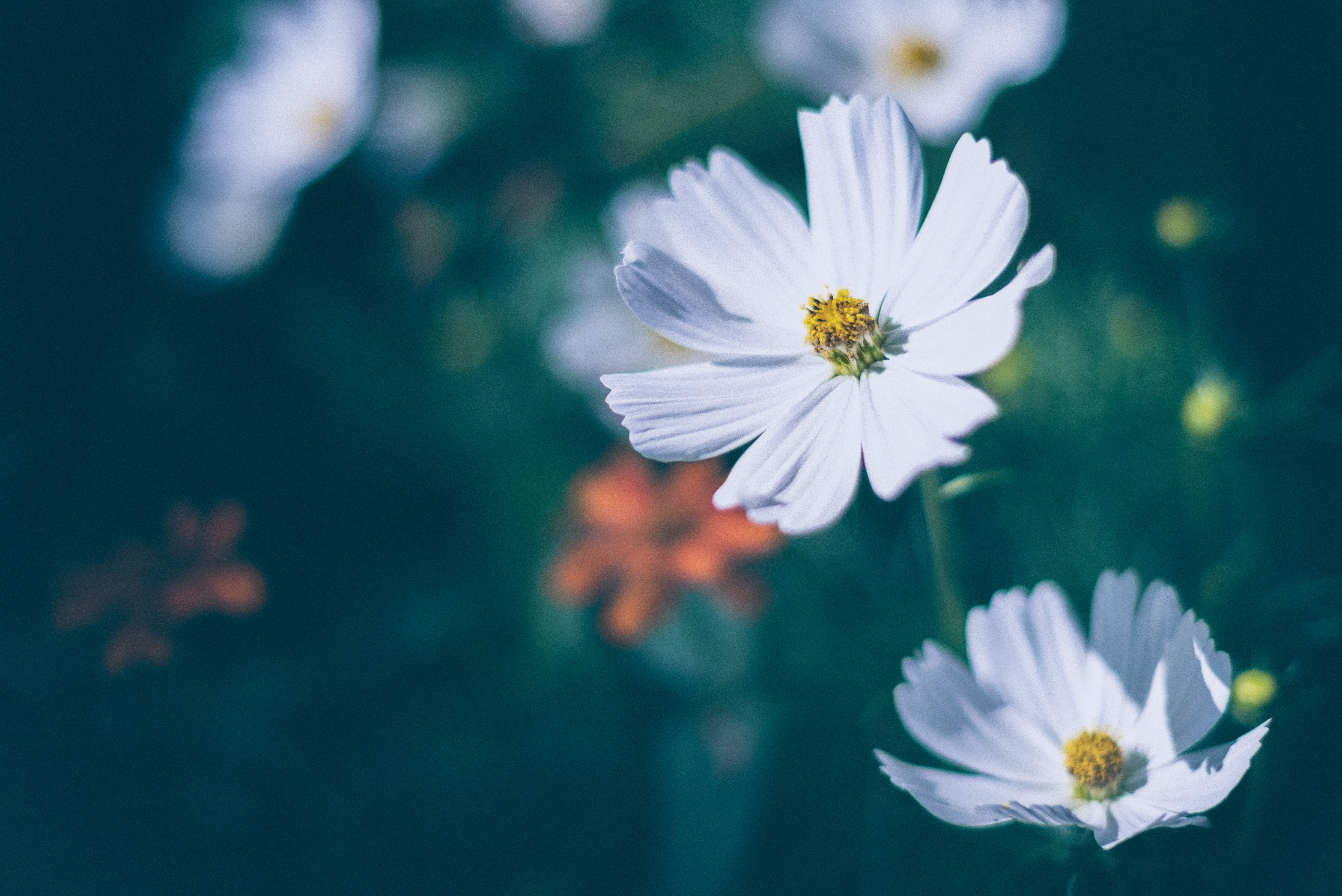 White Cosmos flowers in bloom at daytime, moon HD wallpaper ...