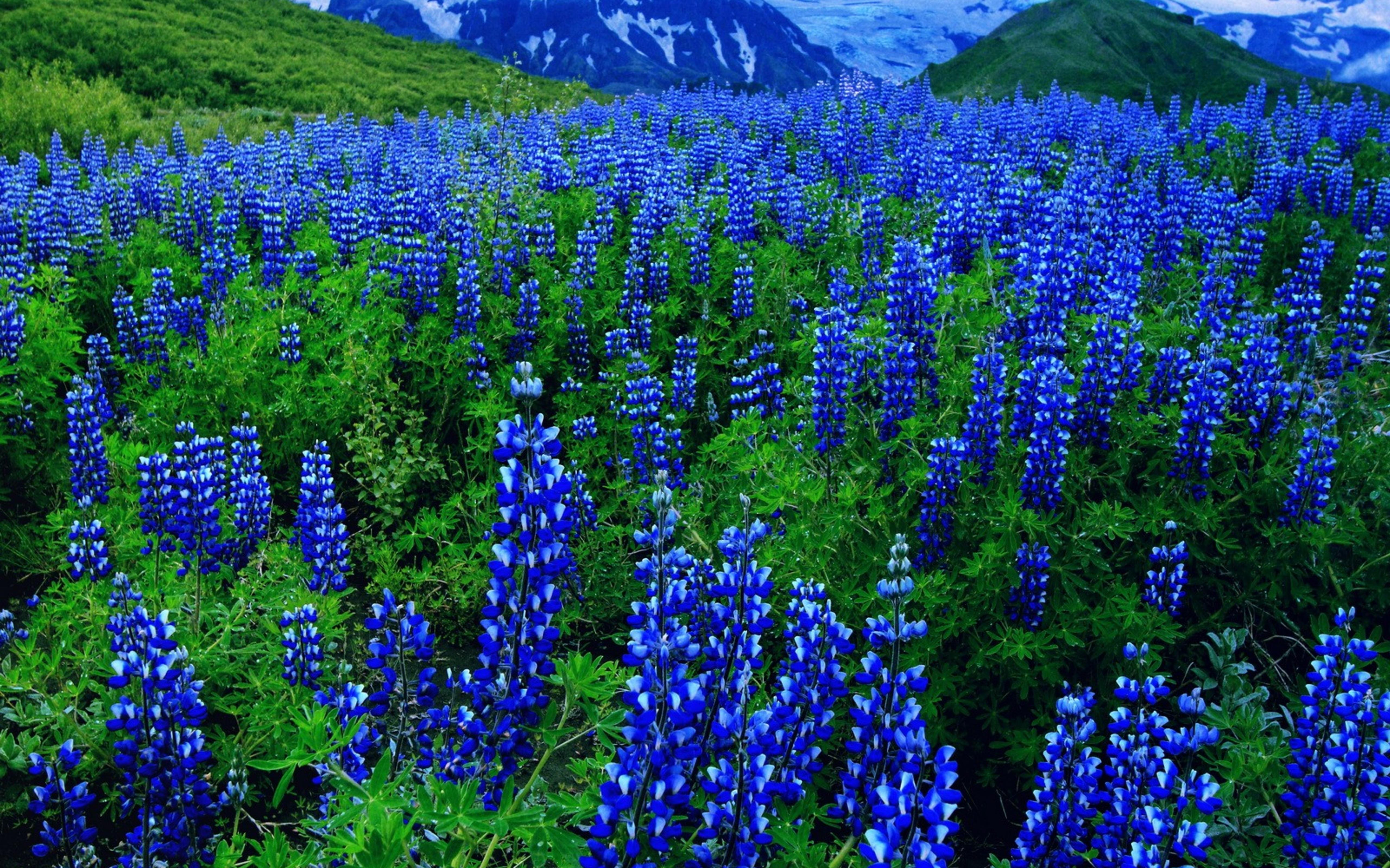 Free photo: Blue flowers - Blooming, Blue, Flowers - Free ...
