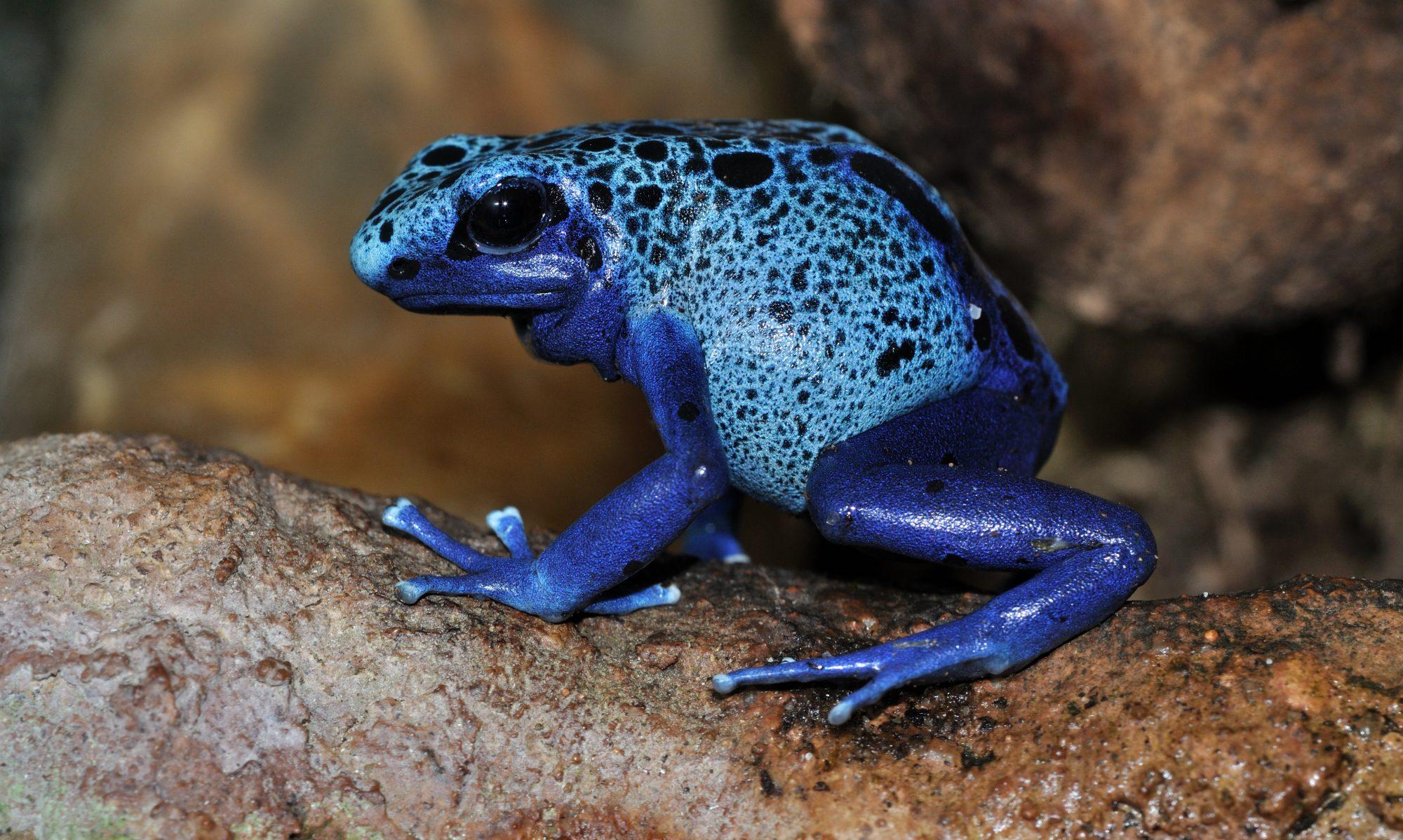 Blue frog photo