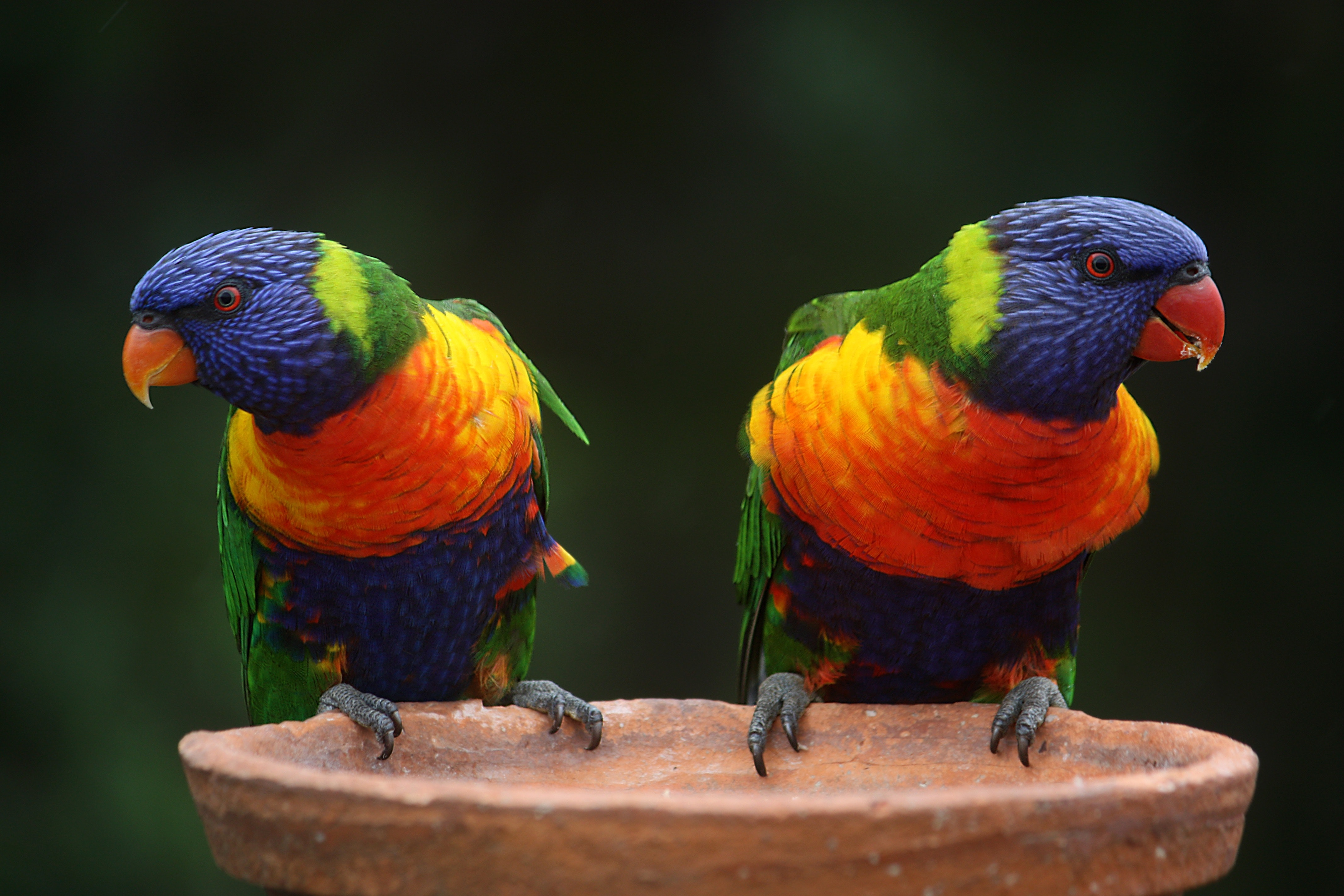 Blue Geeen and Orange Parrot, Parrots, Perched, Plumage, Wildlife, HQ Photo