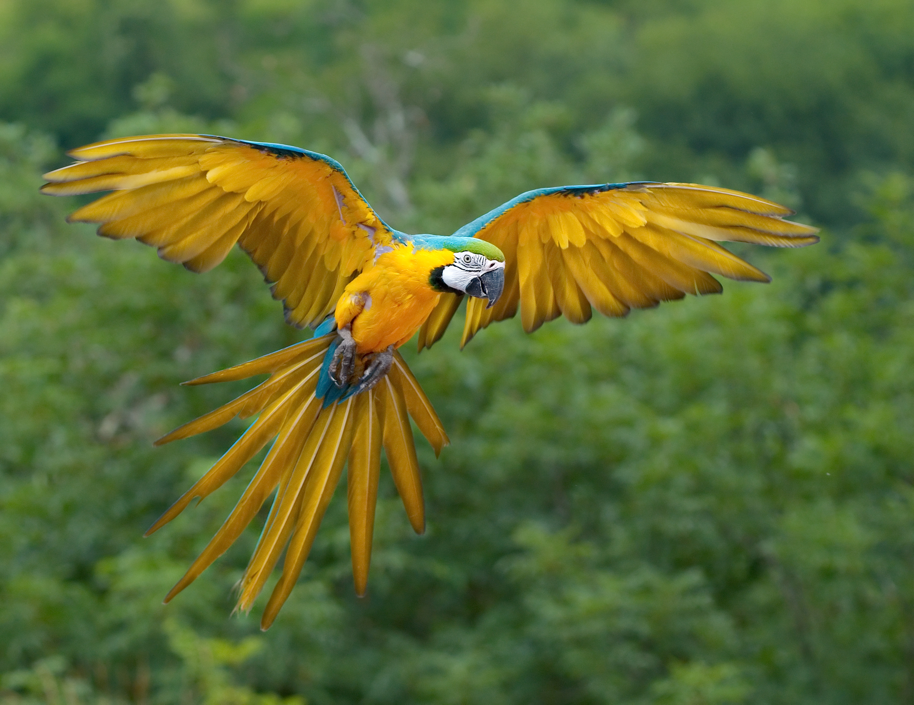 Blue gold macaw photo