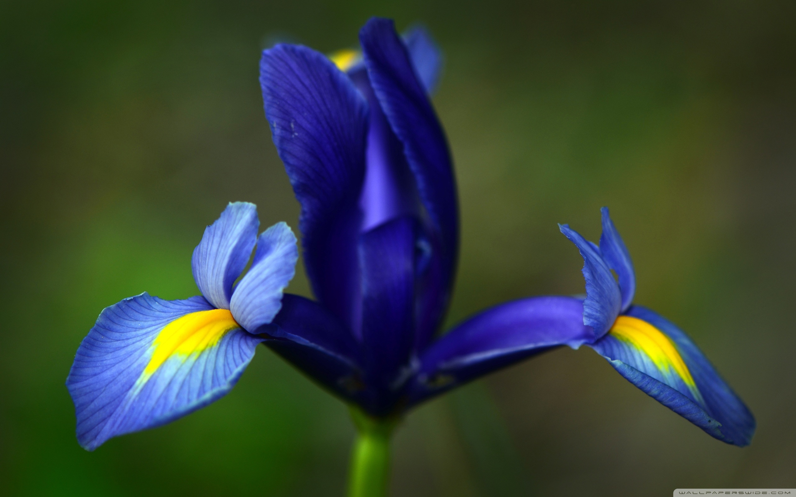 Free Photo Blue Iris Flower Outdoors Nature Natural Free