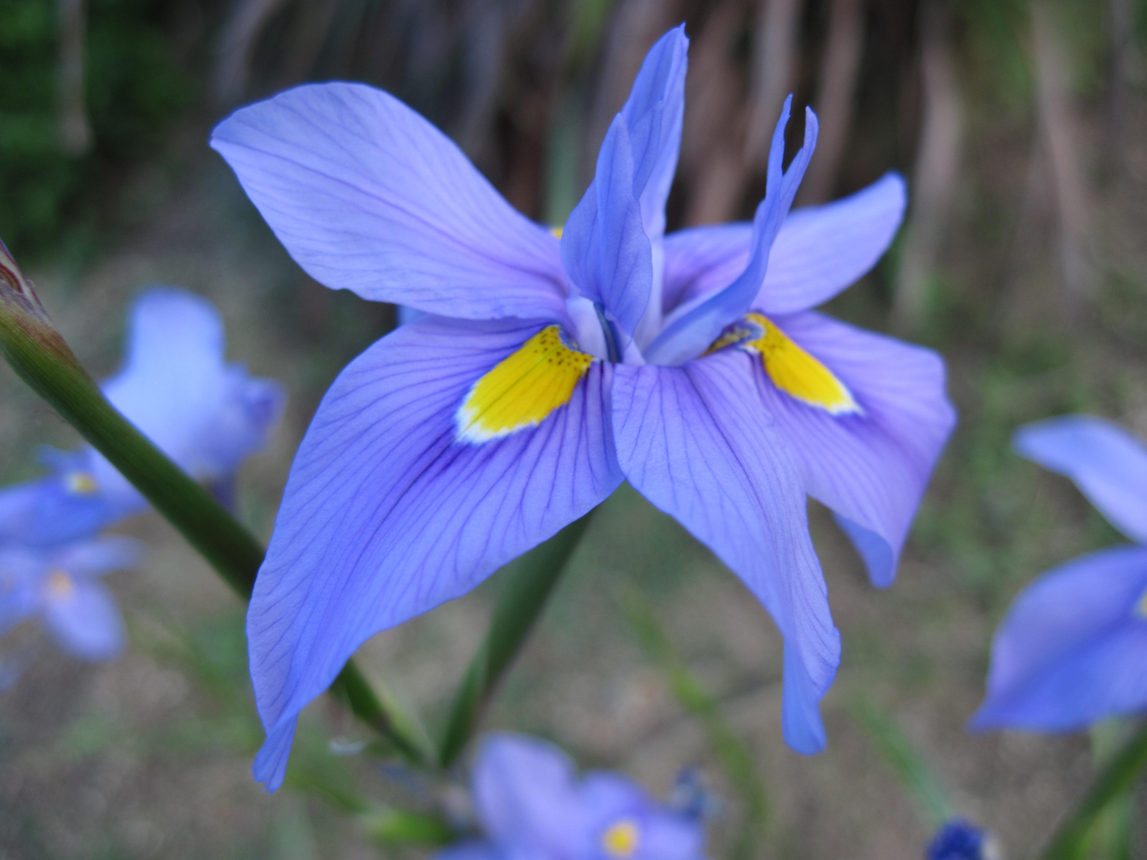 Free photo blue iris flower outdoors nature natural free blue iris flower izmirmasajfo