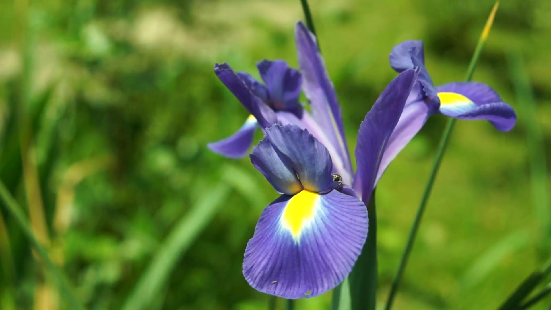 Free Photo Blue Iris Flower Outdoors Nature Natural Free