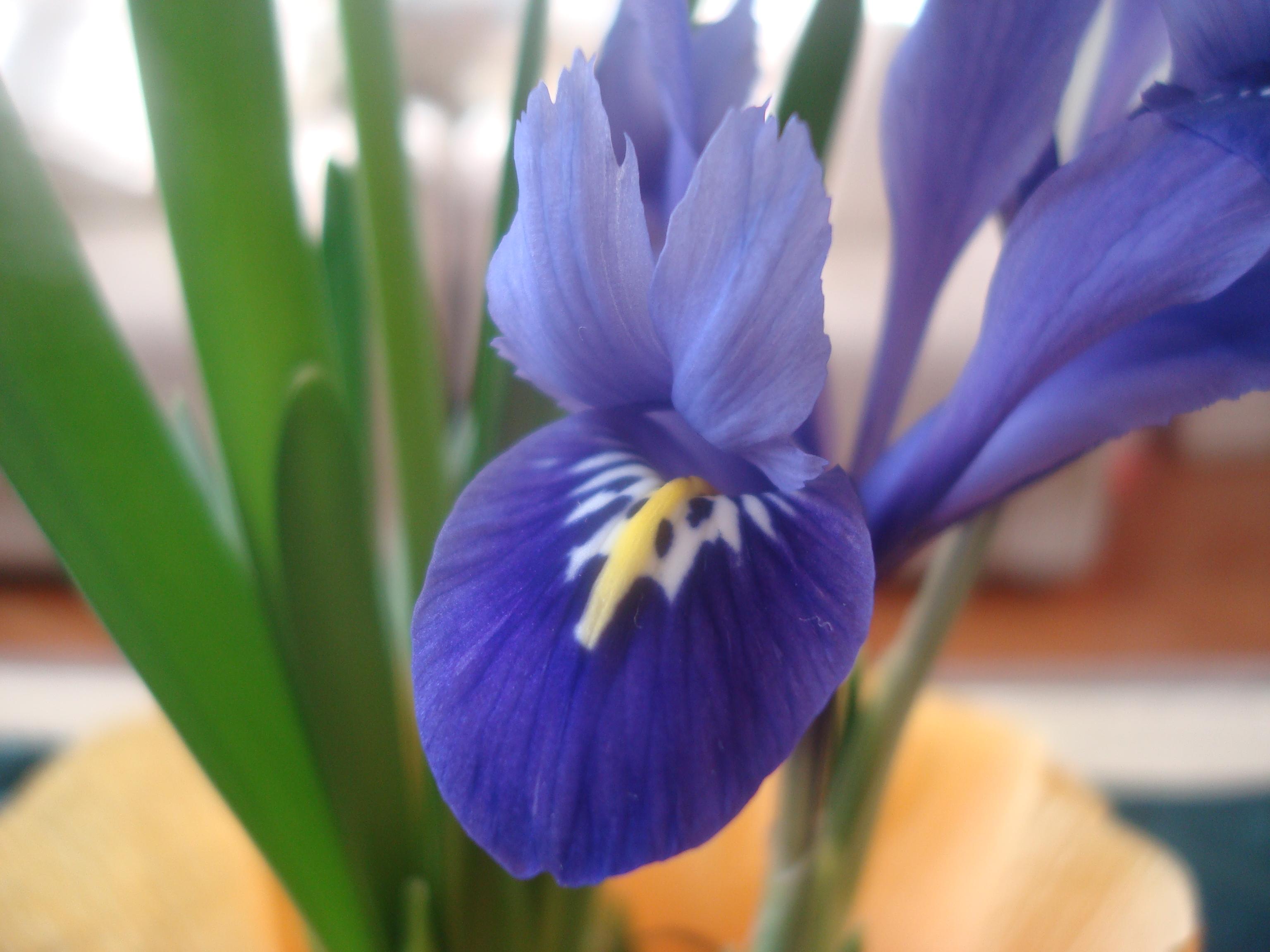 Free Photo Blue Iris Flower Flower Garden Iris Free Download