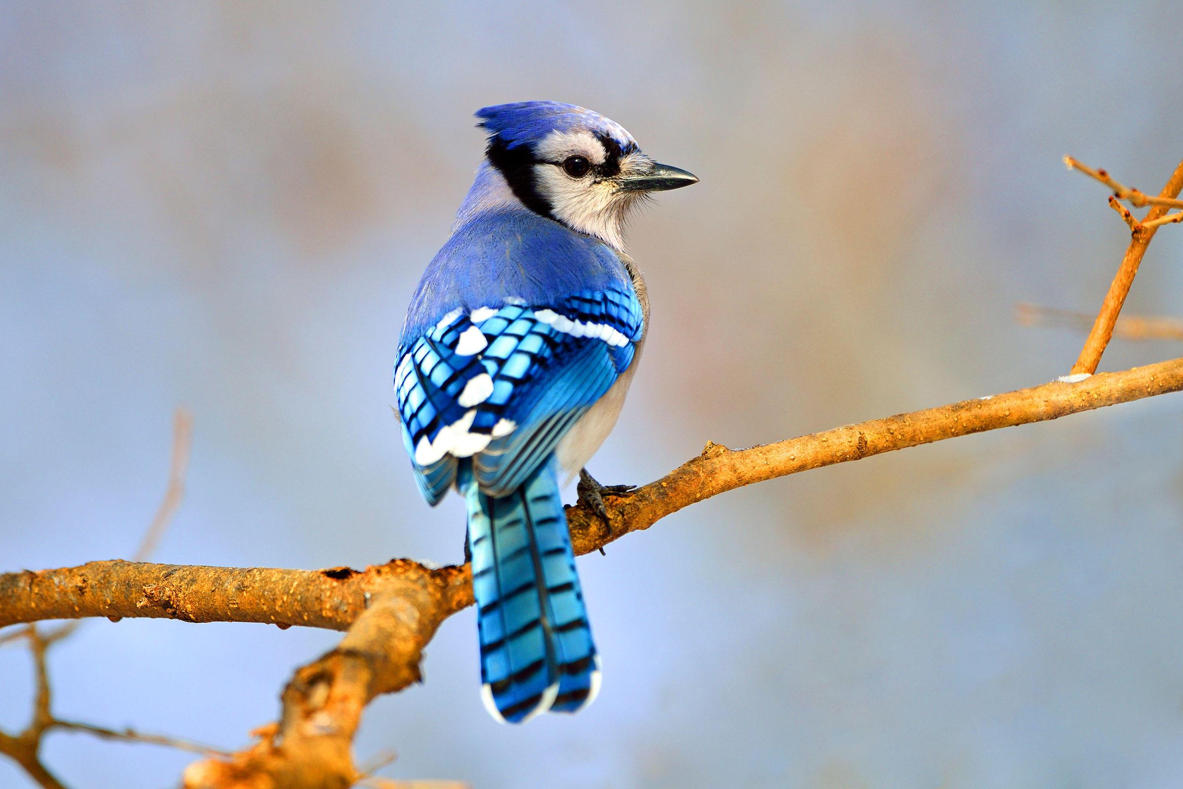 Blue Jay | Audubon Field Guide