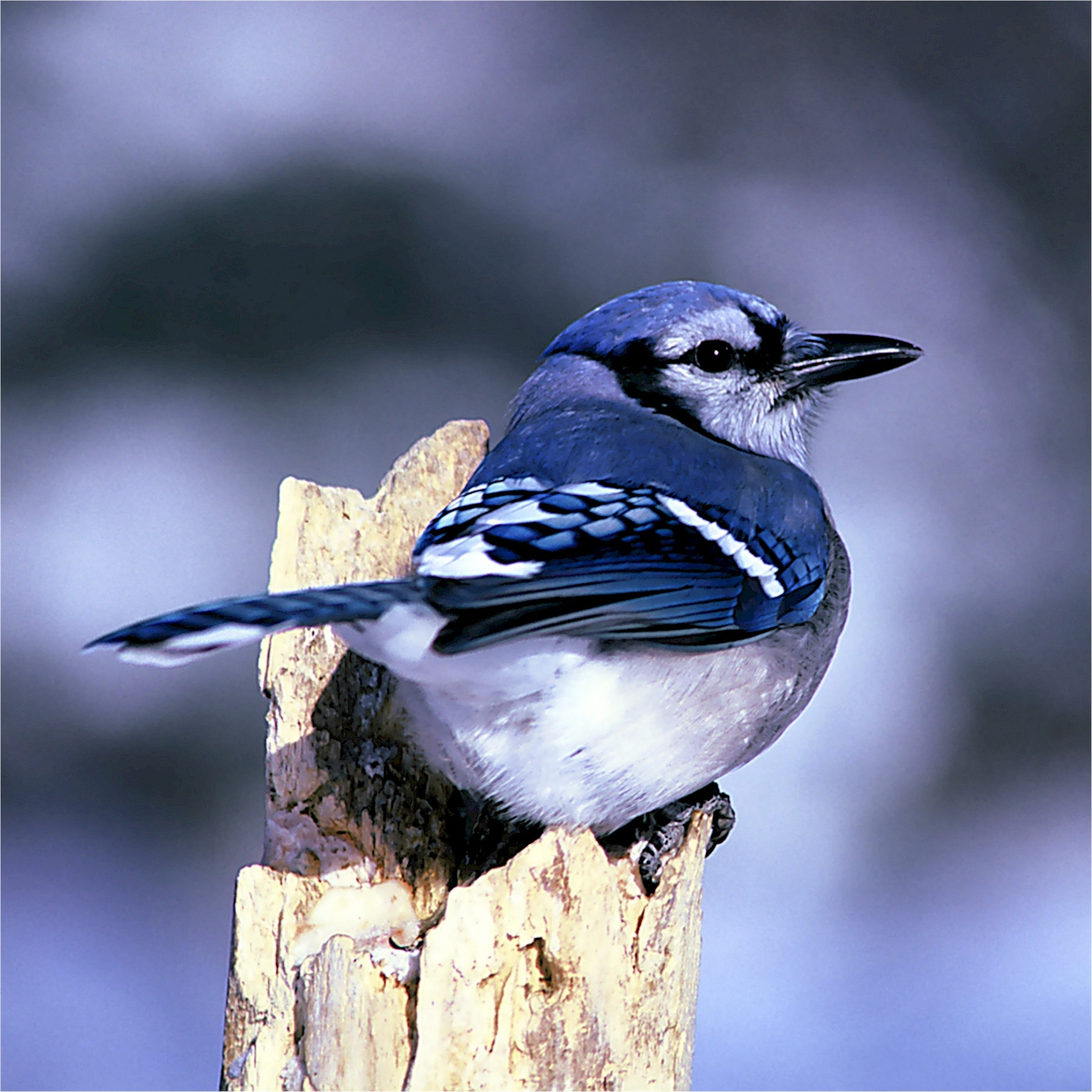 Blue Jay, Animal, Bird, Blue, Jay, HQ Photo