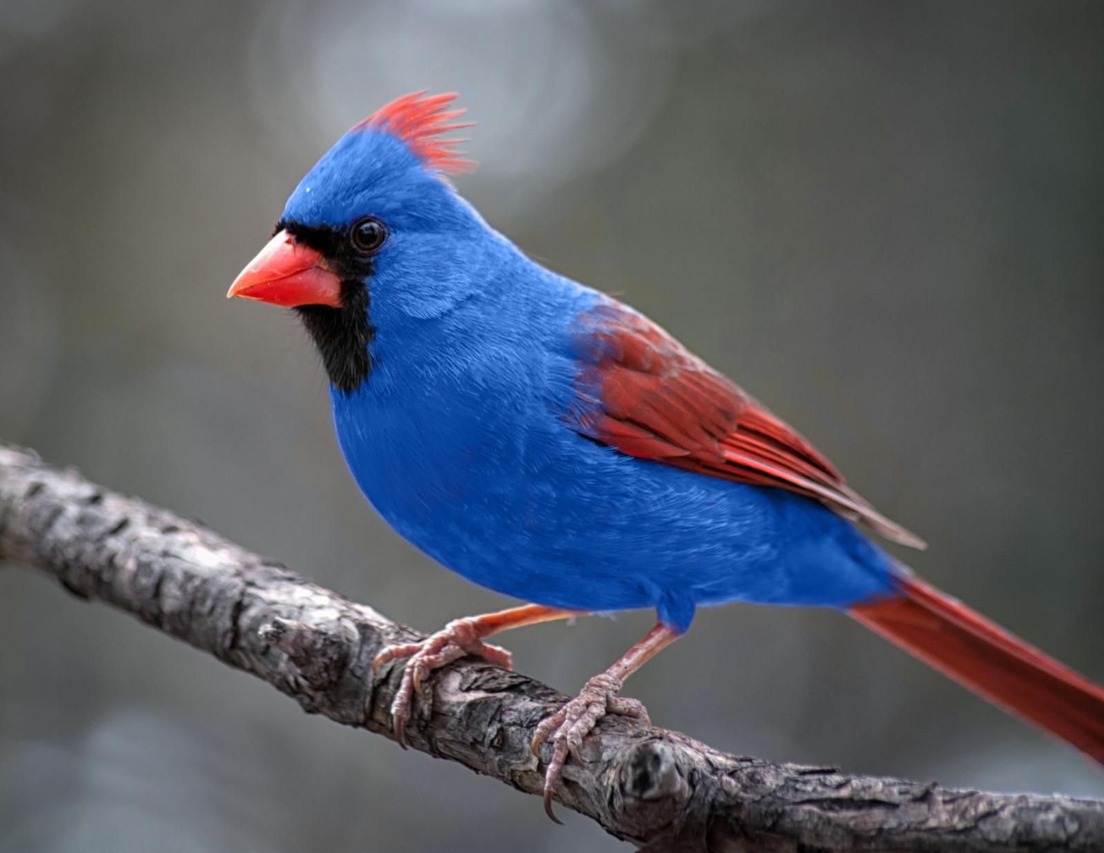 Rare Cardinal With Blue Jay Parent