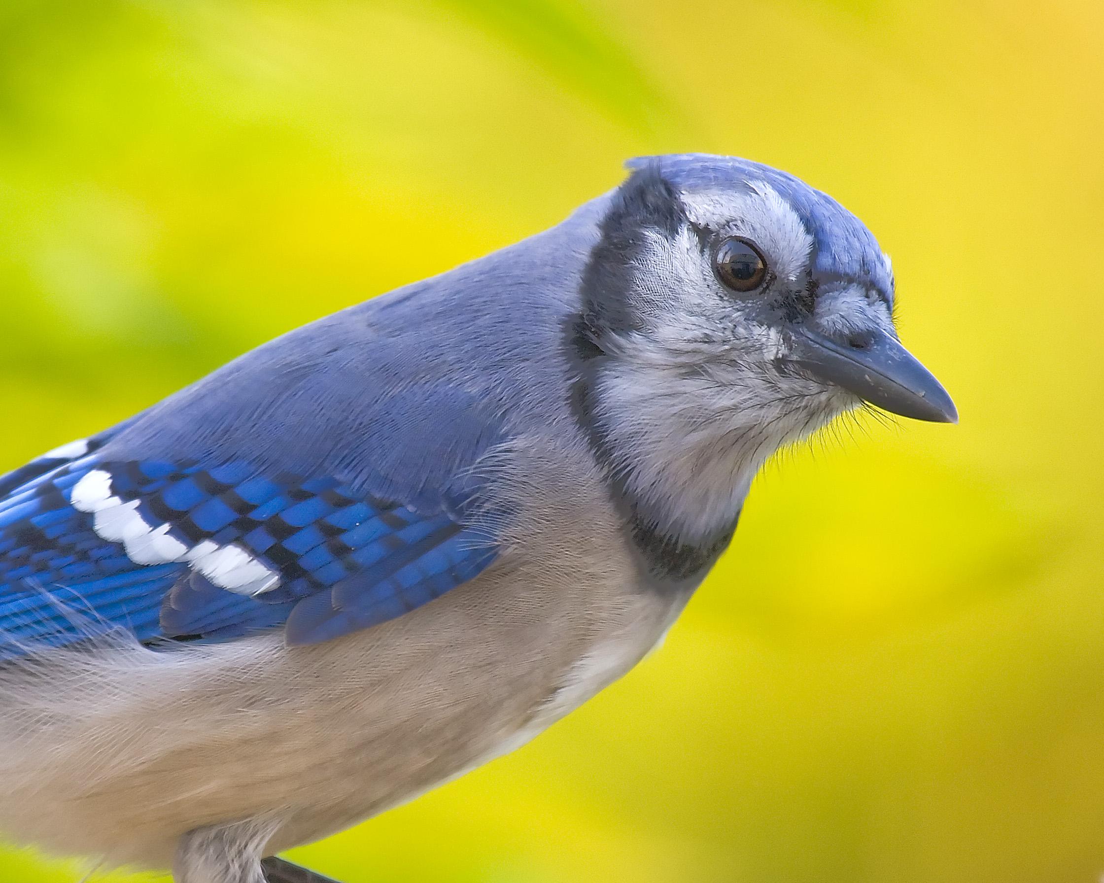 Blue jay photo
