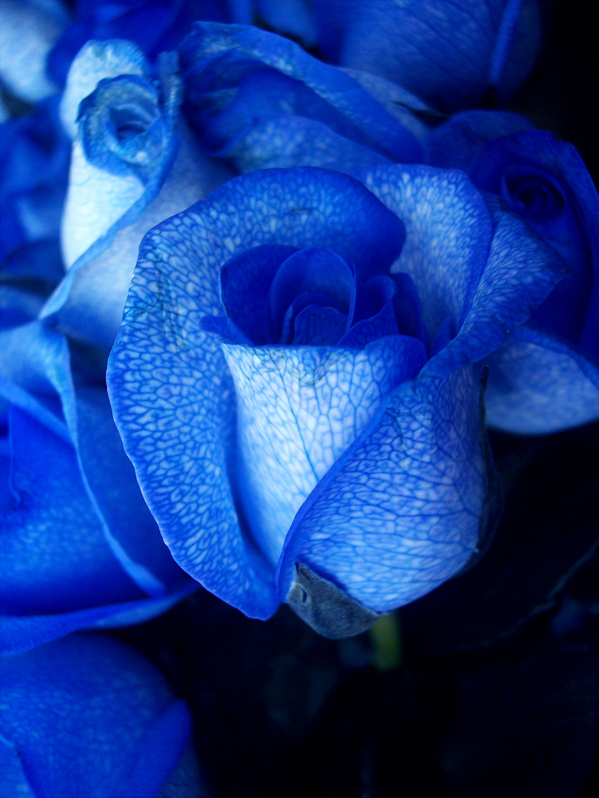 Blue rose photo