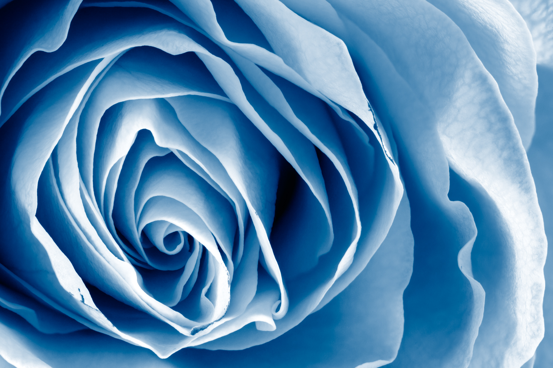 Blue rose - hdr photo