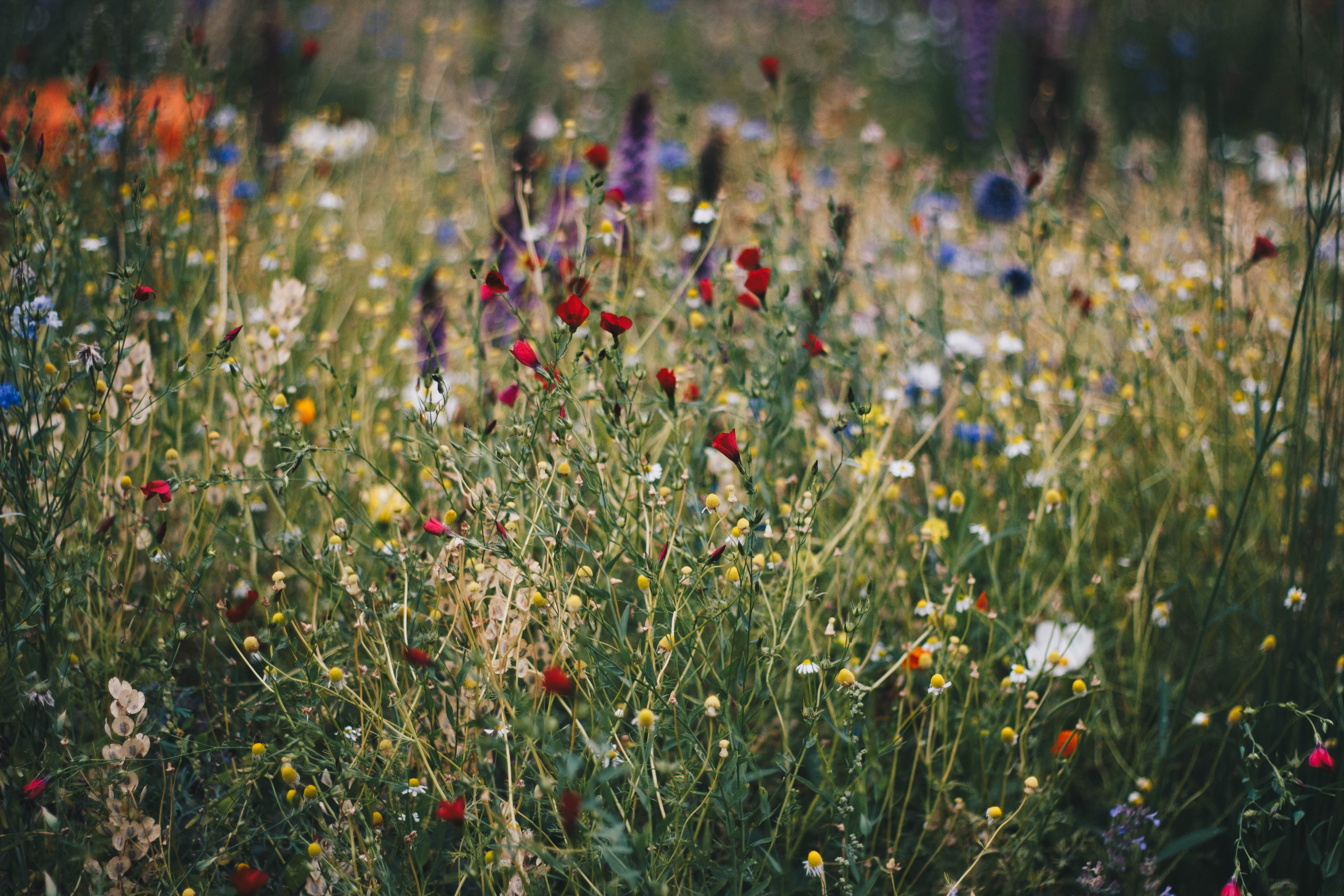 Free Photo Blue White And Red Poppy Flower Field Macro Meadow