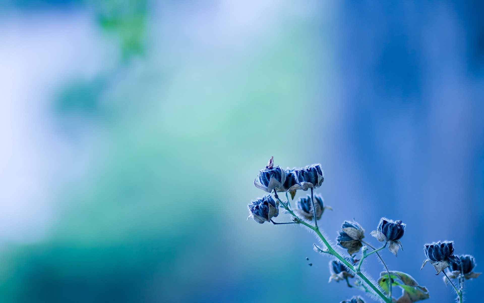 minimalistic, flowers, blue flowers, blurred background :: Wallpapers