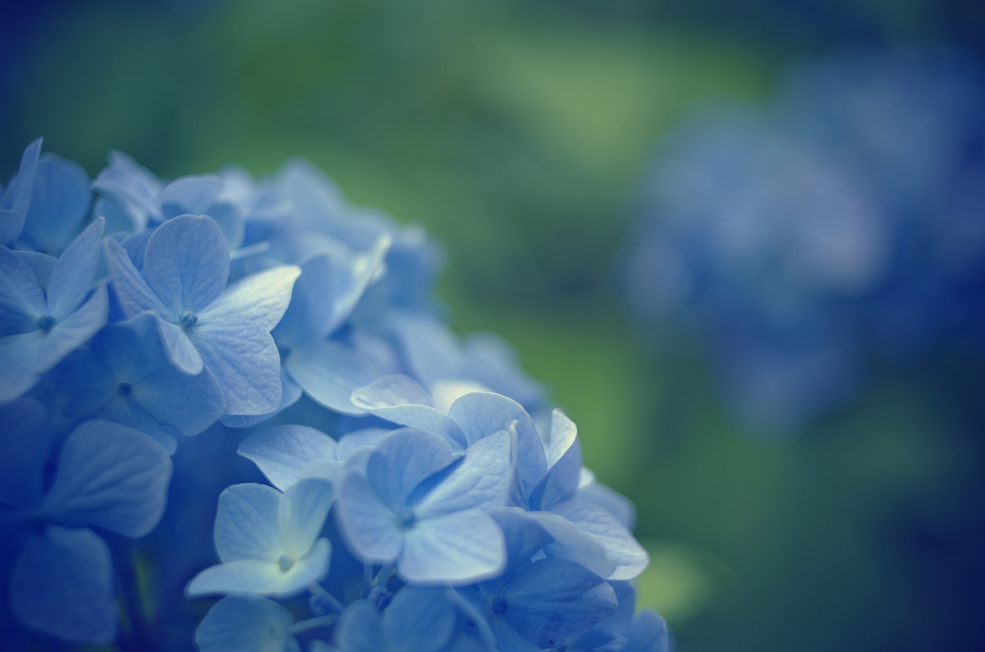 close up flower flowers blue evening primrose blur background ...