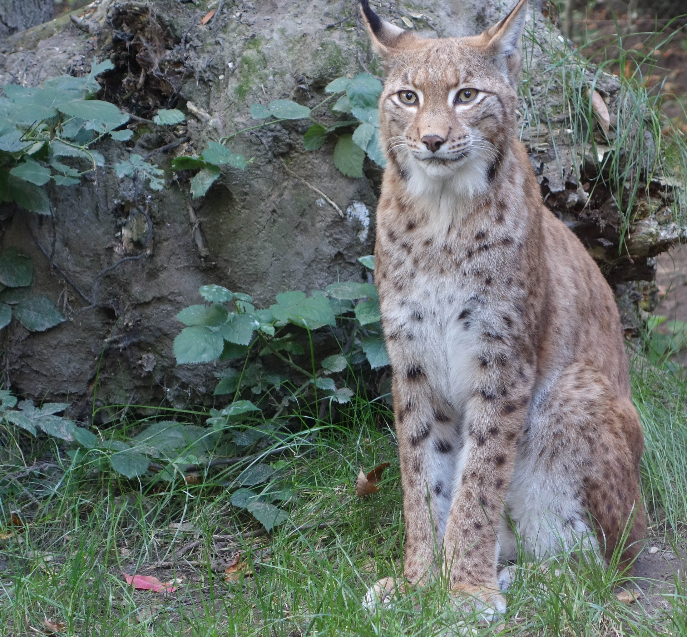 Bobcat, Animal, Bob, Cat, Jungle, HQ Photo