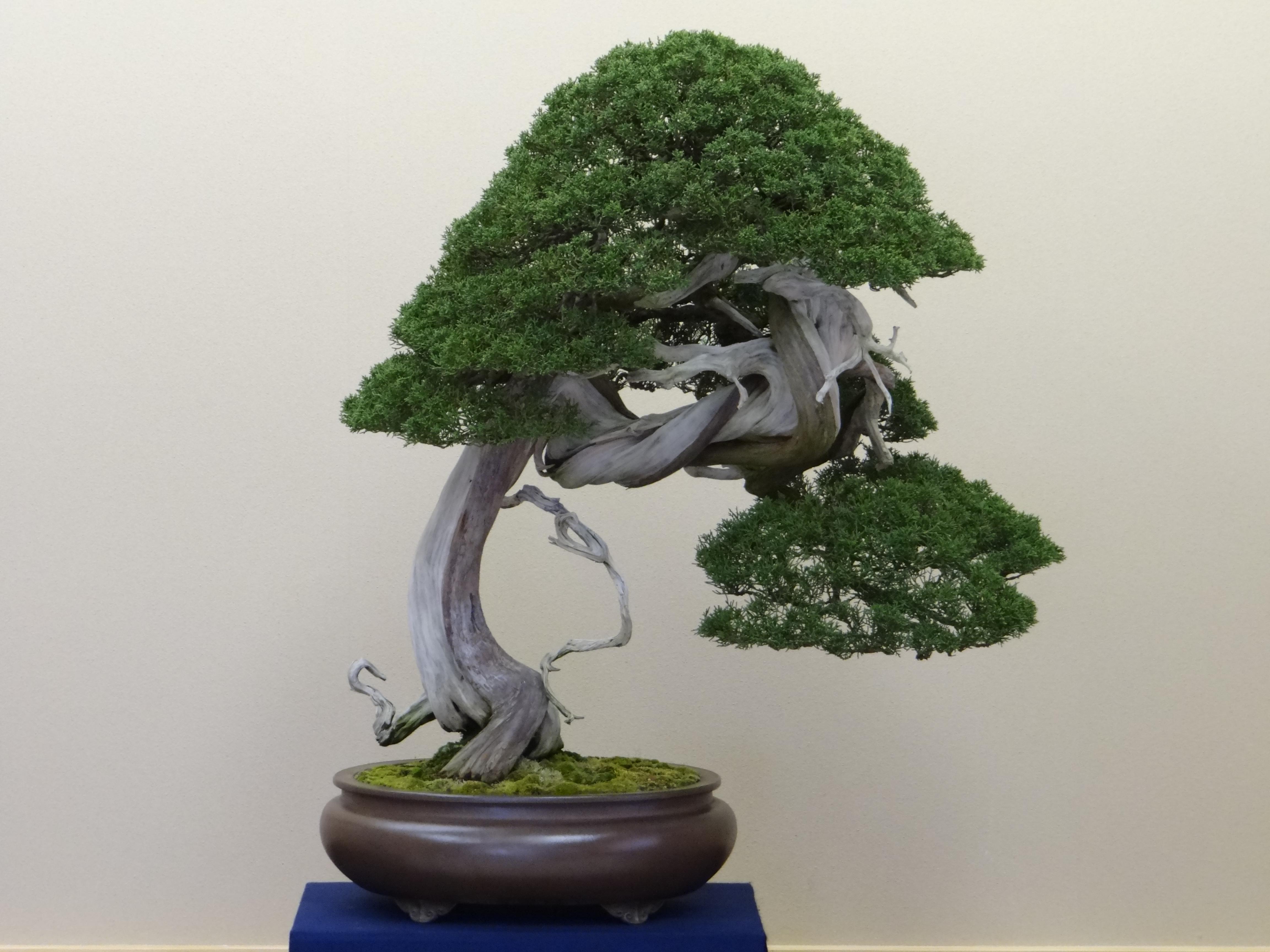 How To Identify Bonsai Trees   Bonsai Tree Gardener