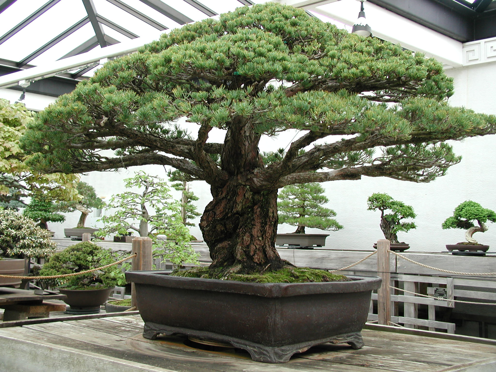 Nearly 400-Year-Old Bonsai Tree that survived the Hiroshima Blast
